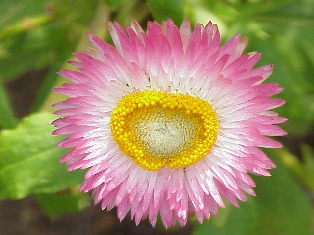 Xeranthemum. (Helichrysum bracteatum). Strawflower.