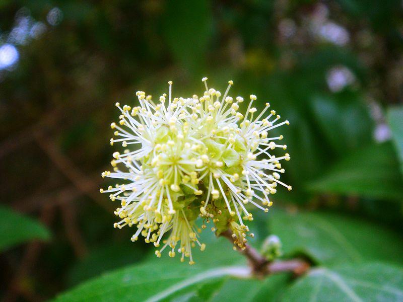 Xylosma.  (Salicaceae Family).
