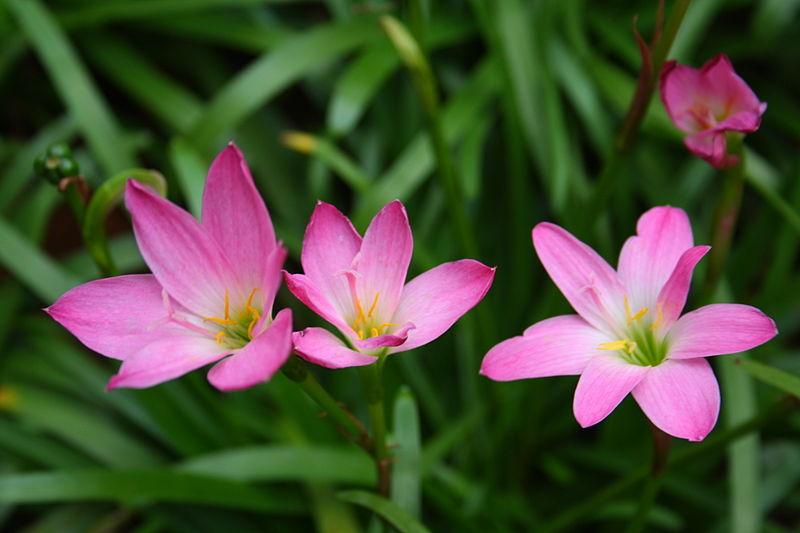 Zephyranthes. (Rain Lily).
