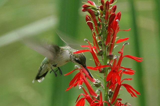 Ruby-throated hummingbird on Cardinal Flower. (Lobelia cardinalis).