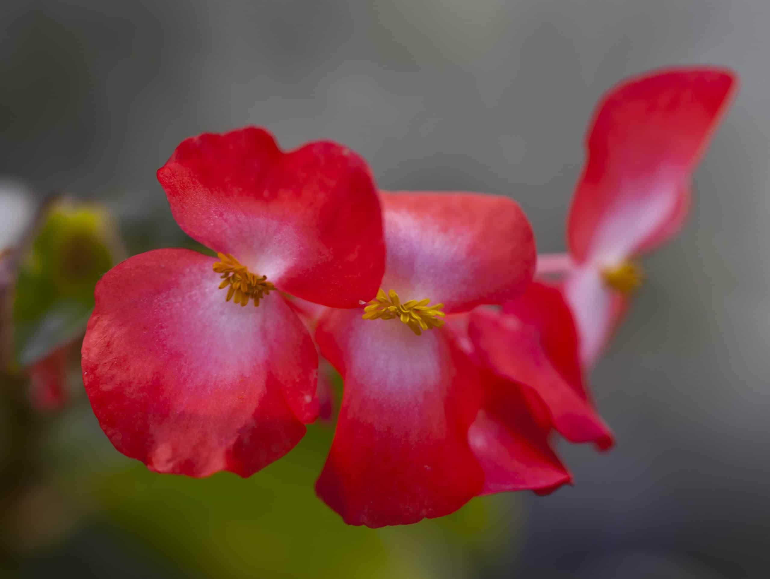 Begonia. (Begoniaceae).