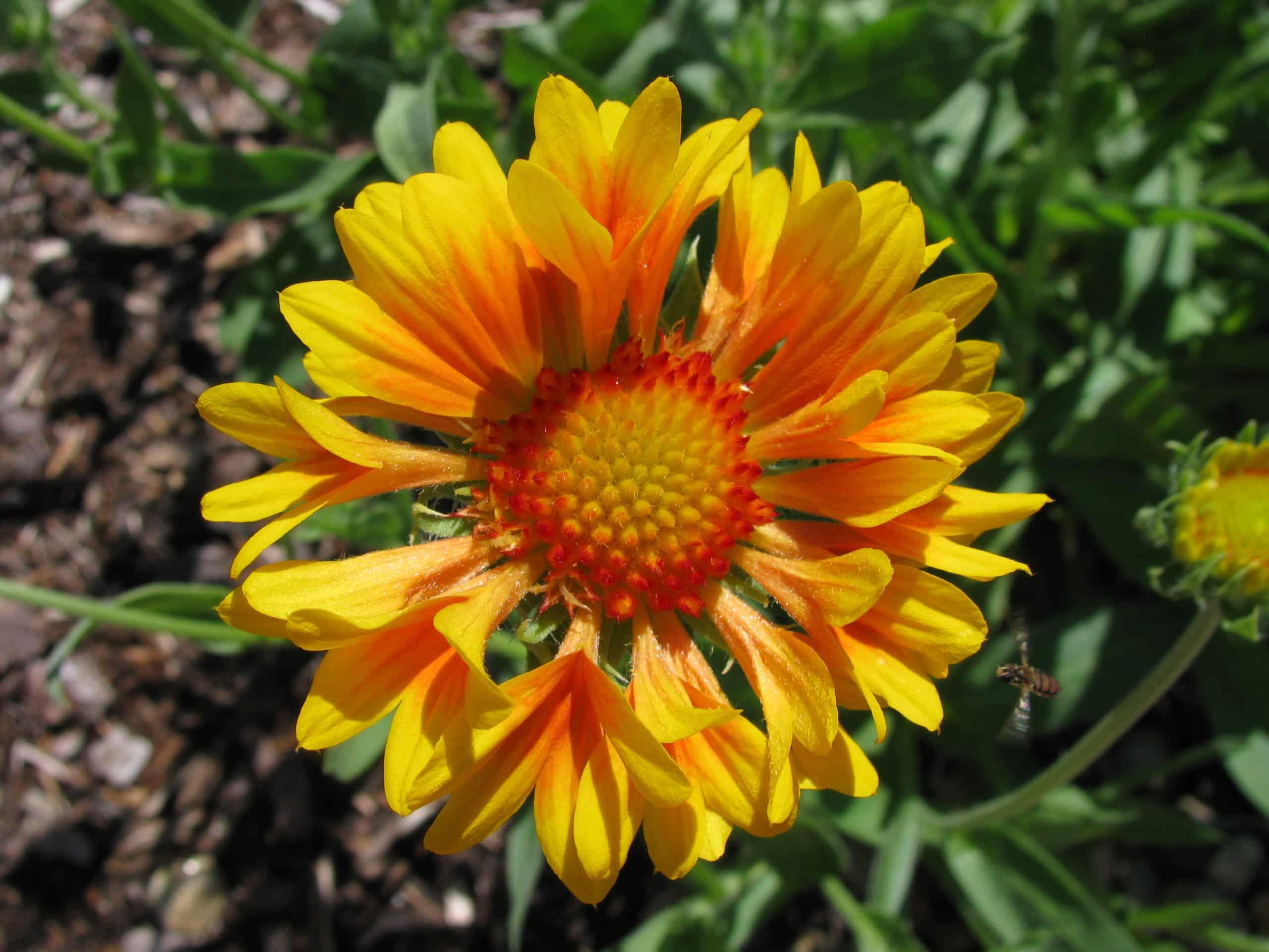 Blanket Flower. (Gaillardia).