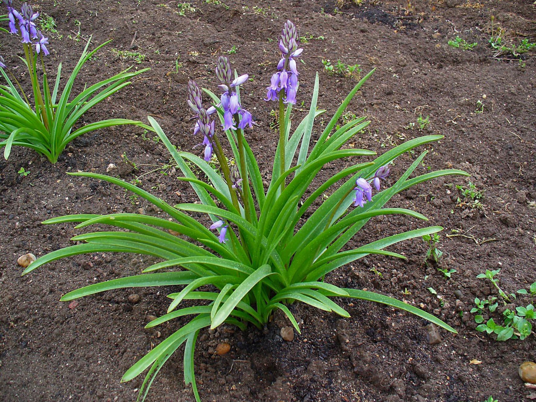 Bluebell. (Hyacinth Family).