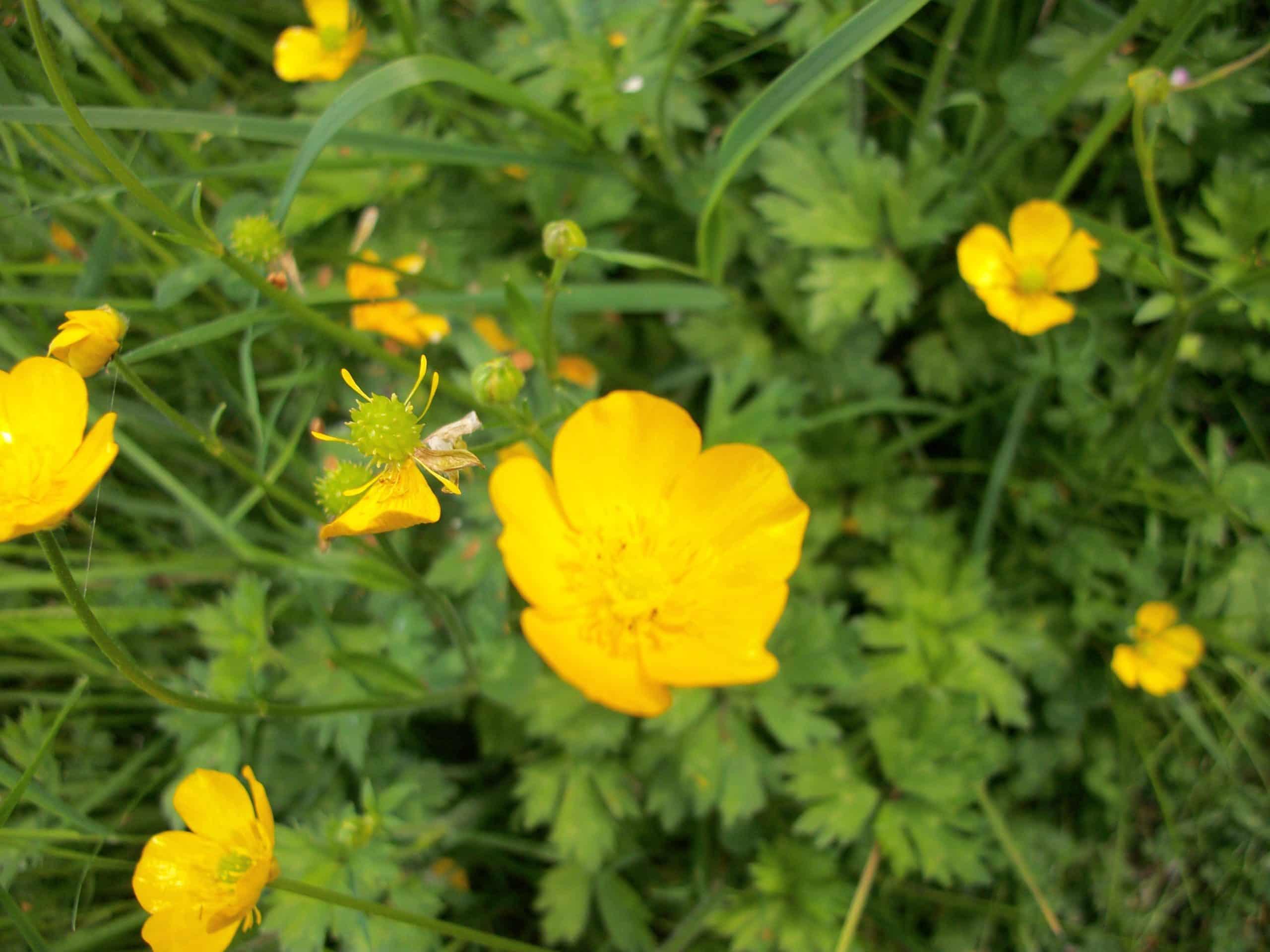 Buttercup. (Ranunculus).