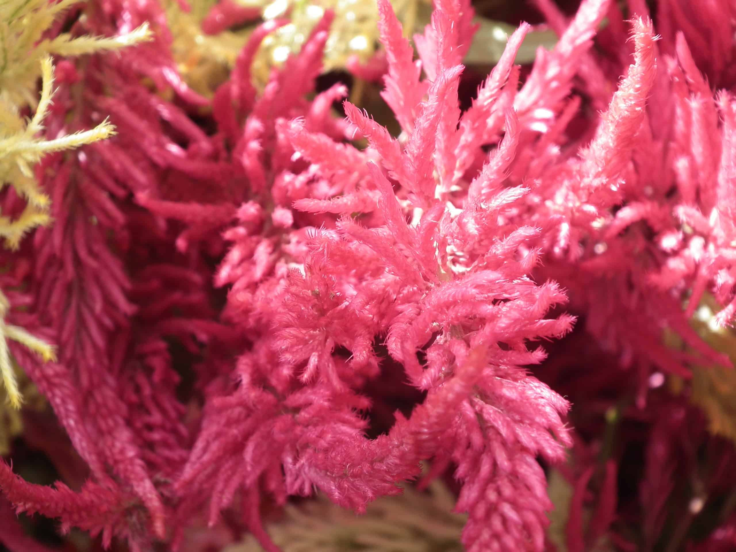 Celosia. (Amaranth Family. Wool flower).
