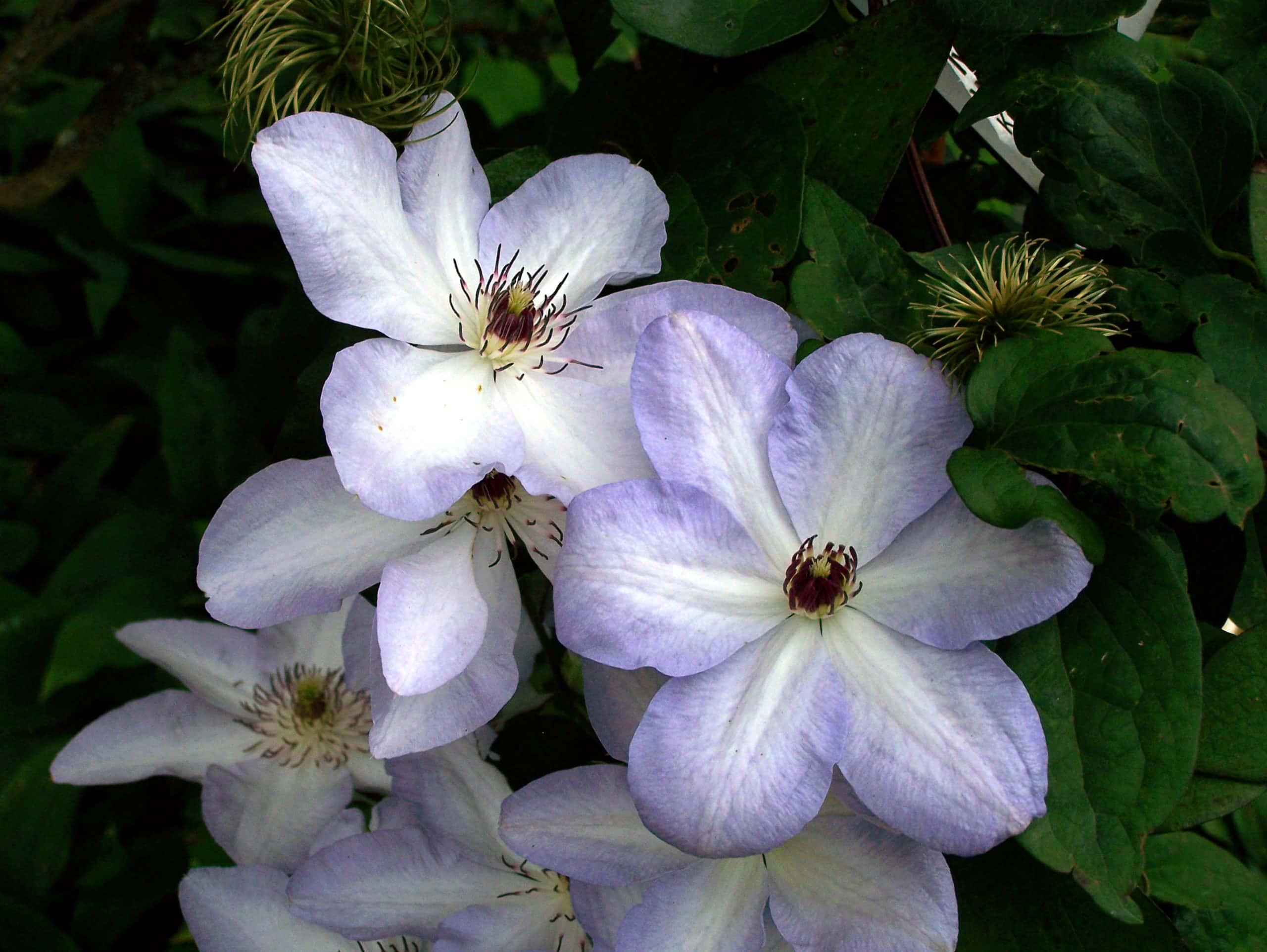 Clematis. (Ranunculus).
