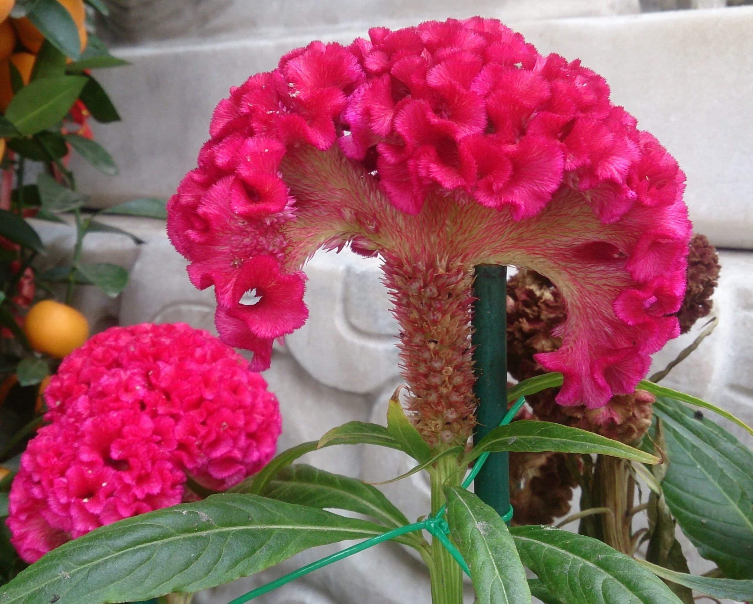 Cockscomb. (Celosia).  Amaranthaceae.