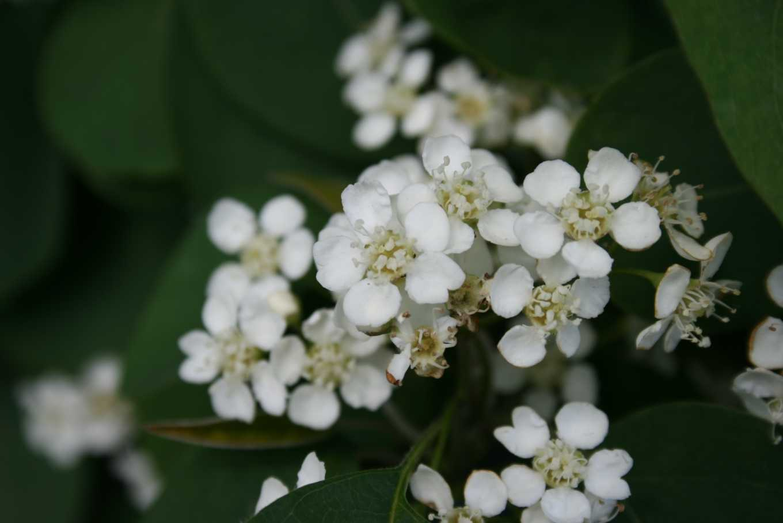 Cotoneaster. Milk Flower. Deer Resistant. (Rosaceae).