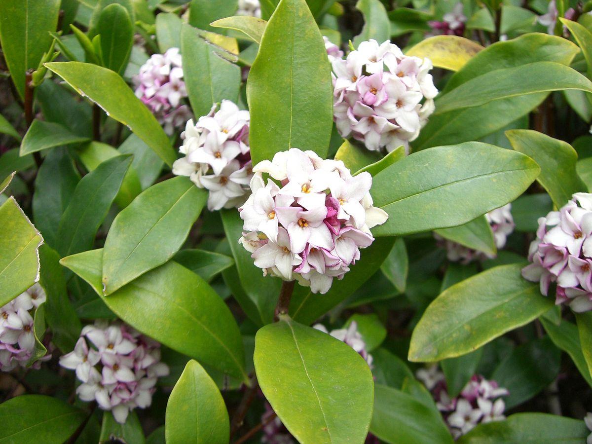 Daphne. (Daphne odora, Winter Daphne).