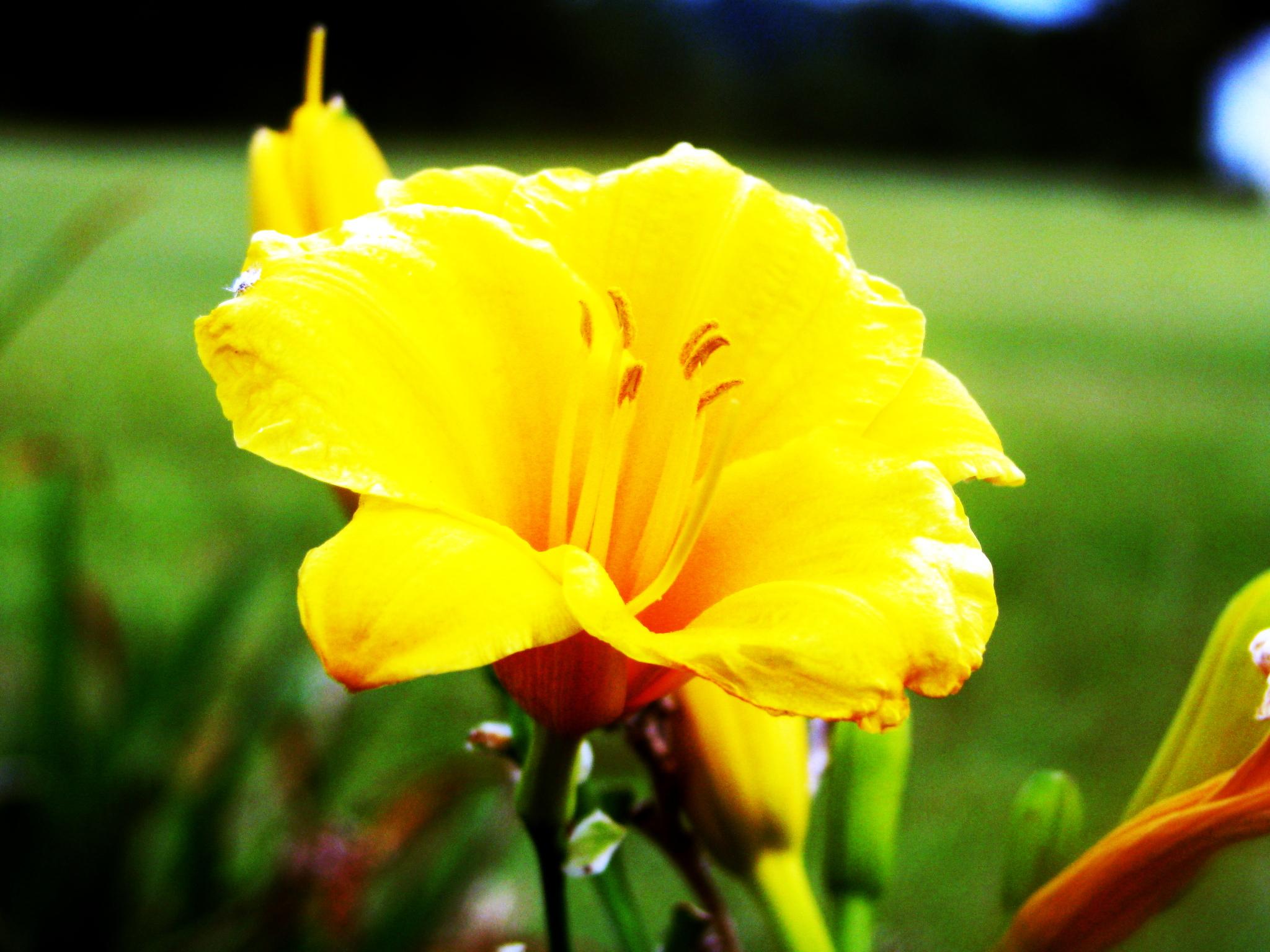 Day Lily. (Hemerocallis).