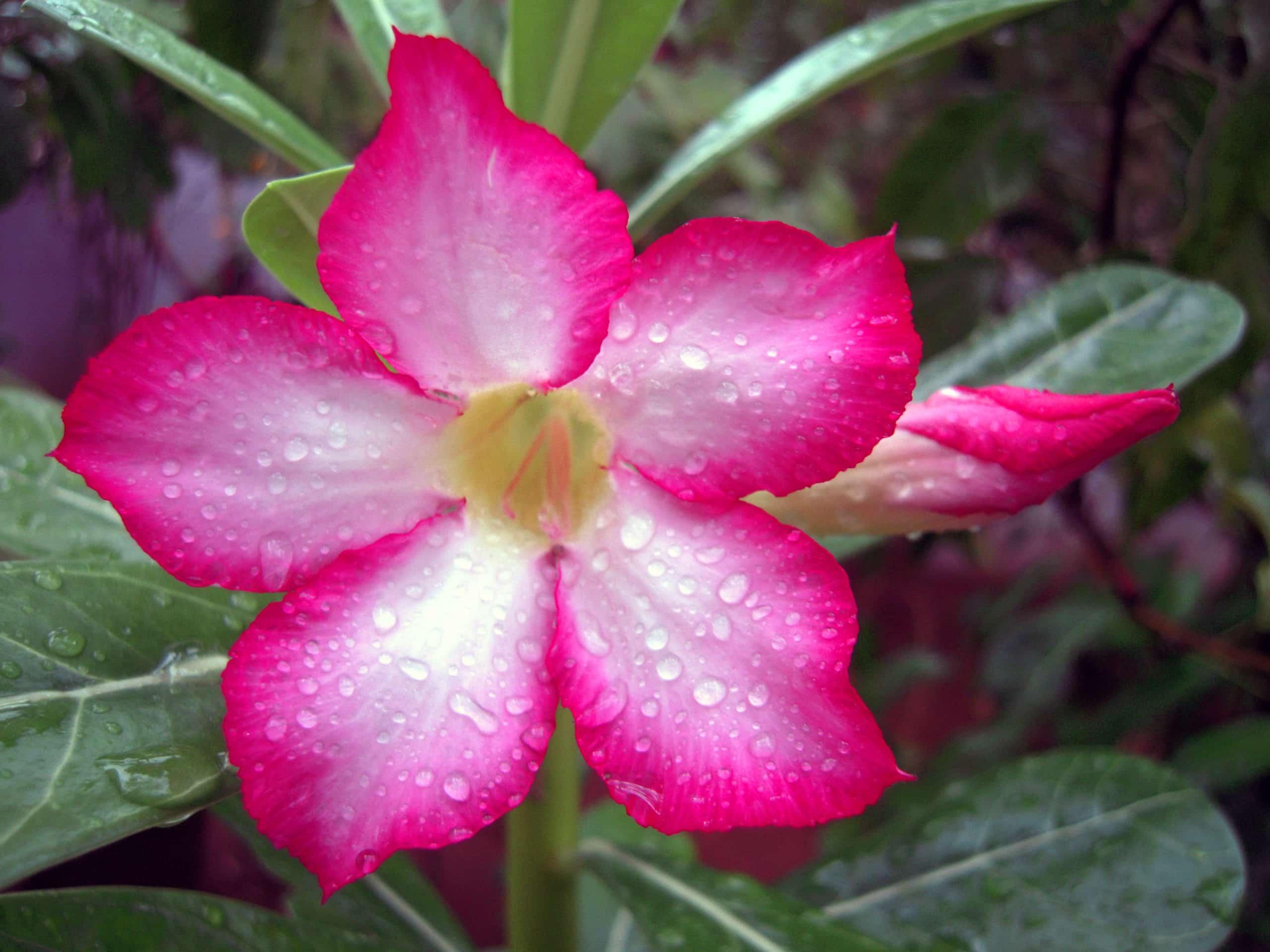 Desert Rose. (Dogbane).