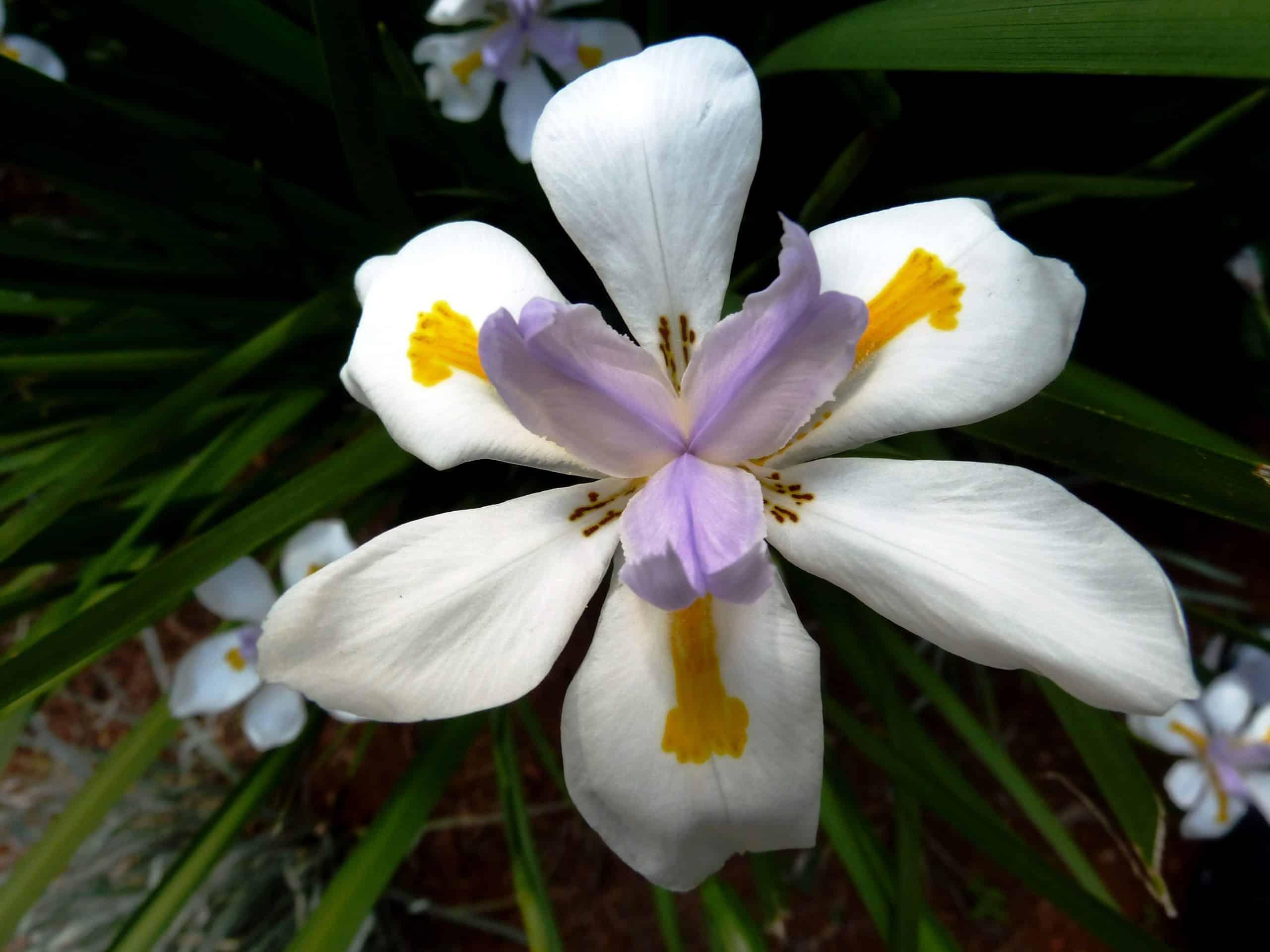 Dietes. (Wild Iris). Iridaceae Family.