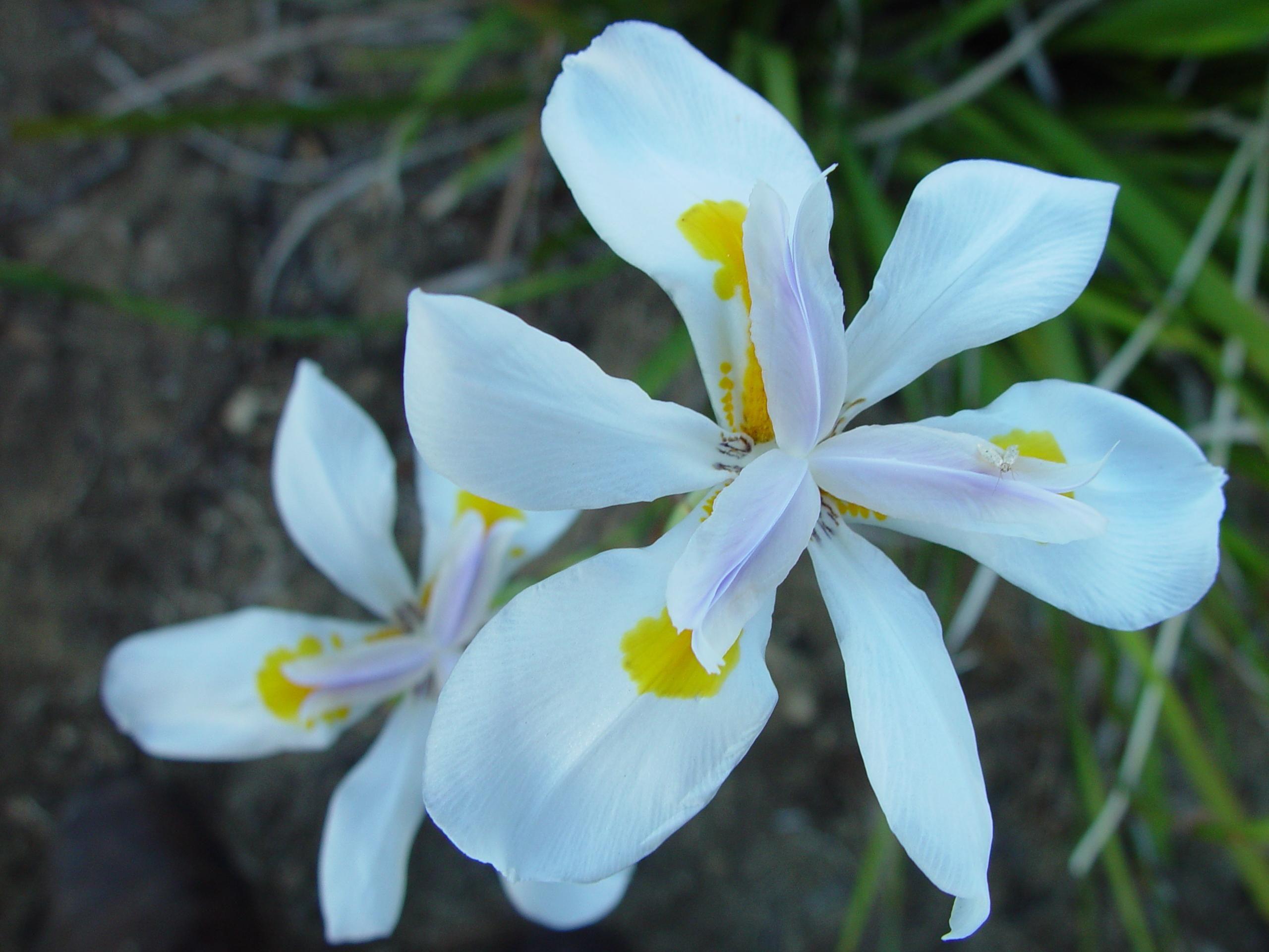 Dutch Iris. (Iris hollandica). Iridaceae Family.