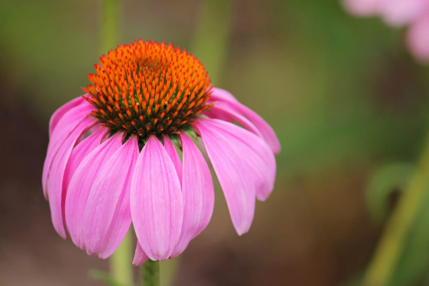 Coneflower. Echinacea. (Asteraceae).