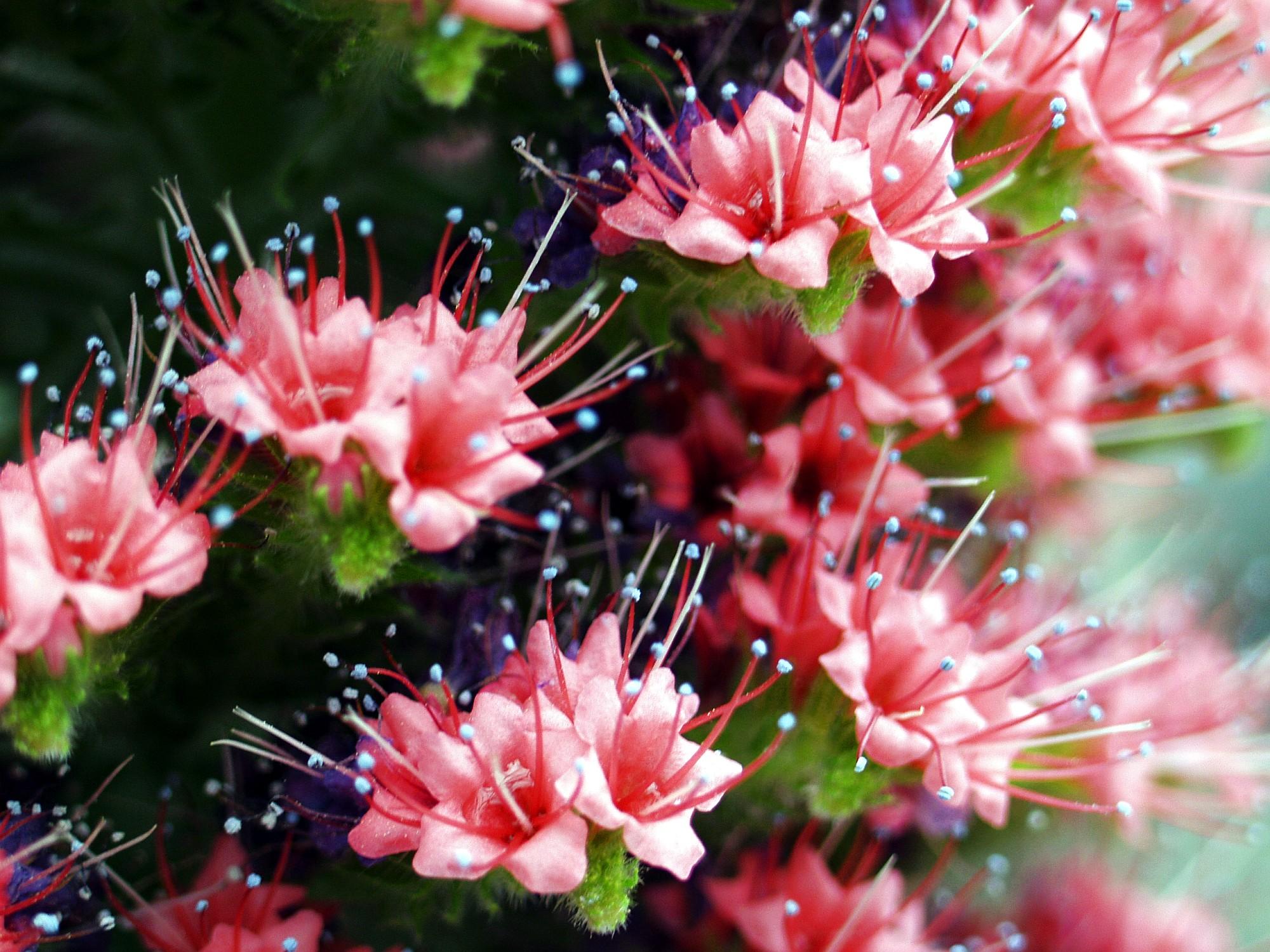 Echium. (Boraginaceae).