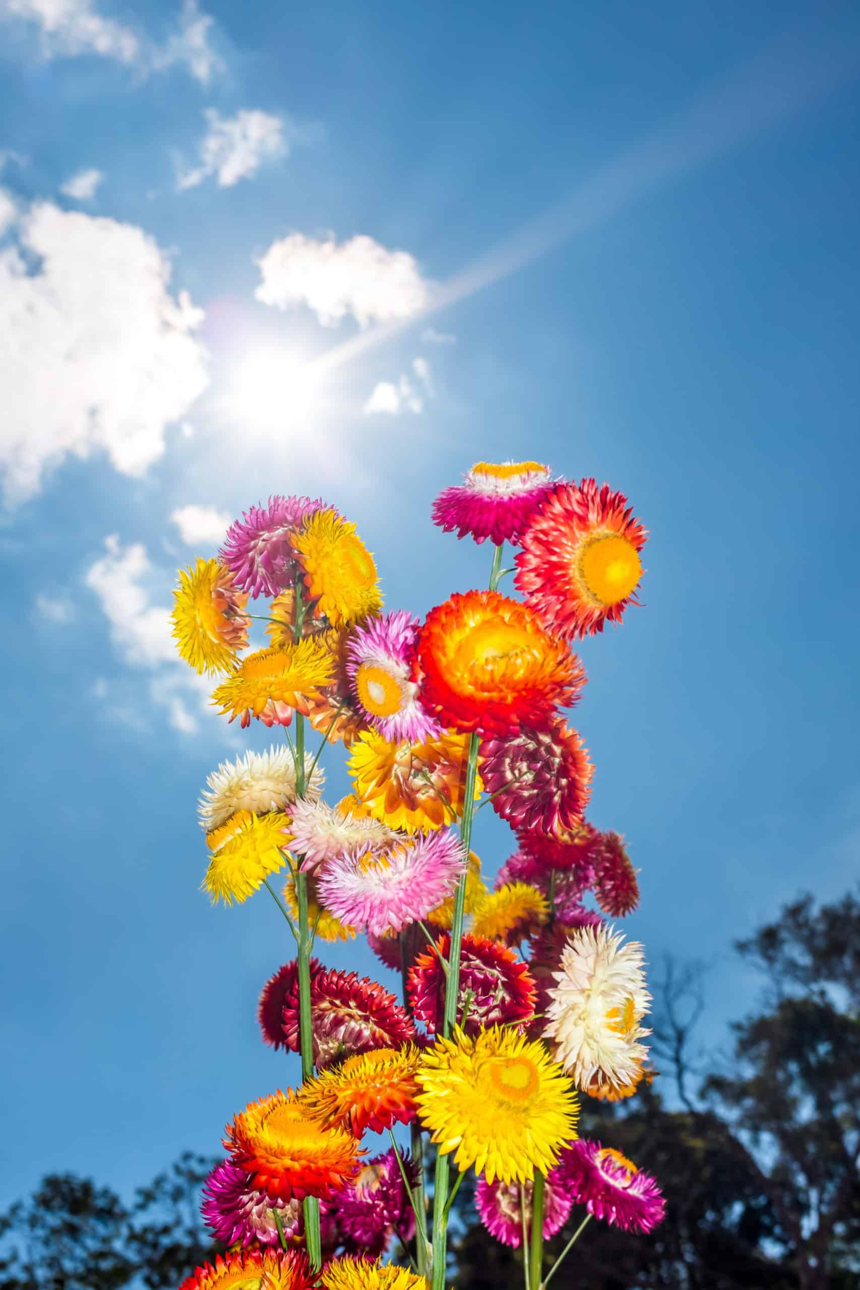 Everlasting-Flower-Helichrysum-Bracteatum
