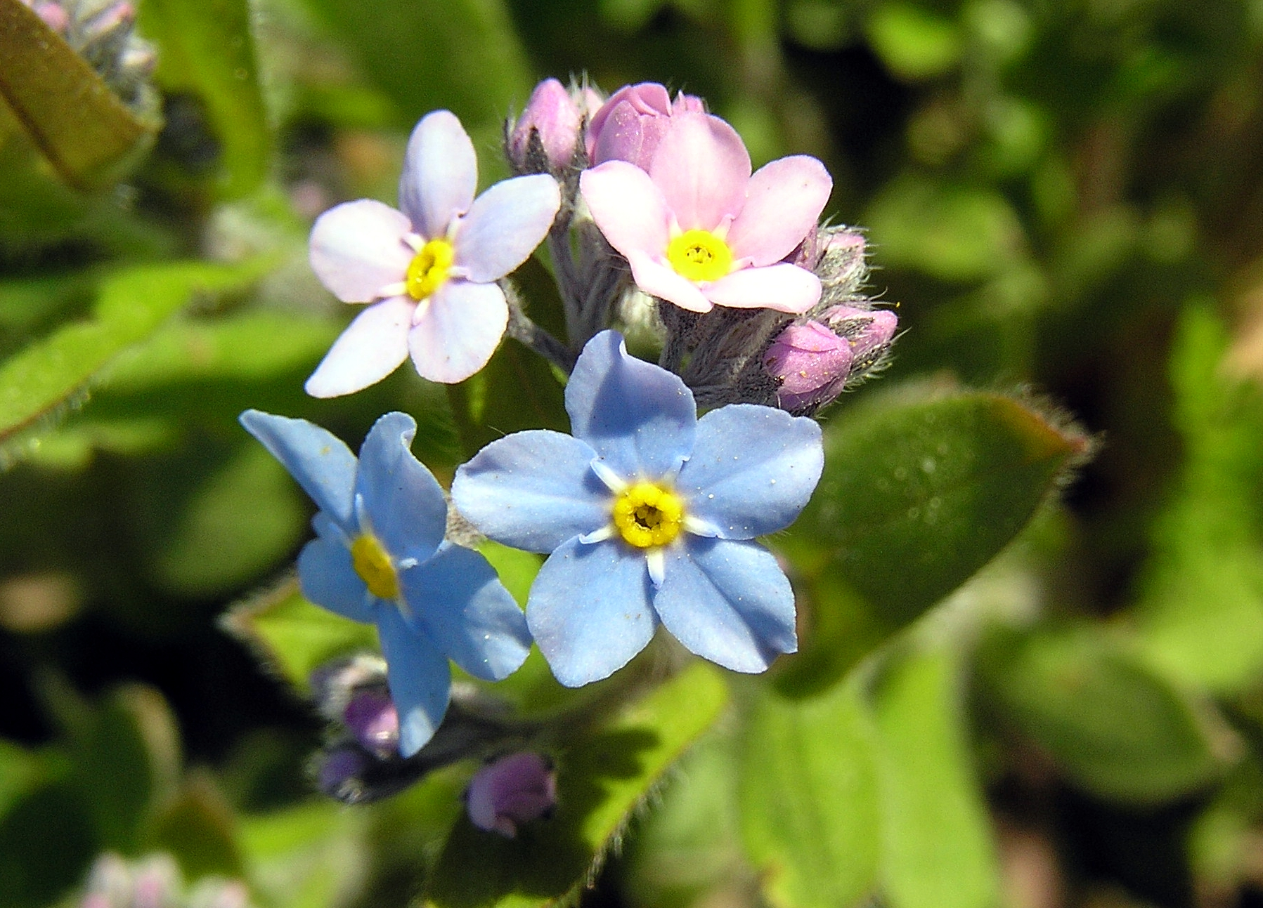 Forget-Me-Not / Mycositis