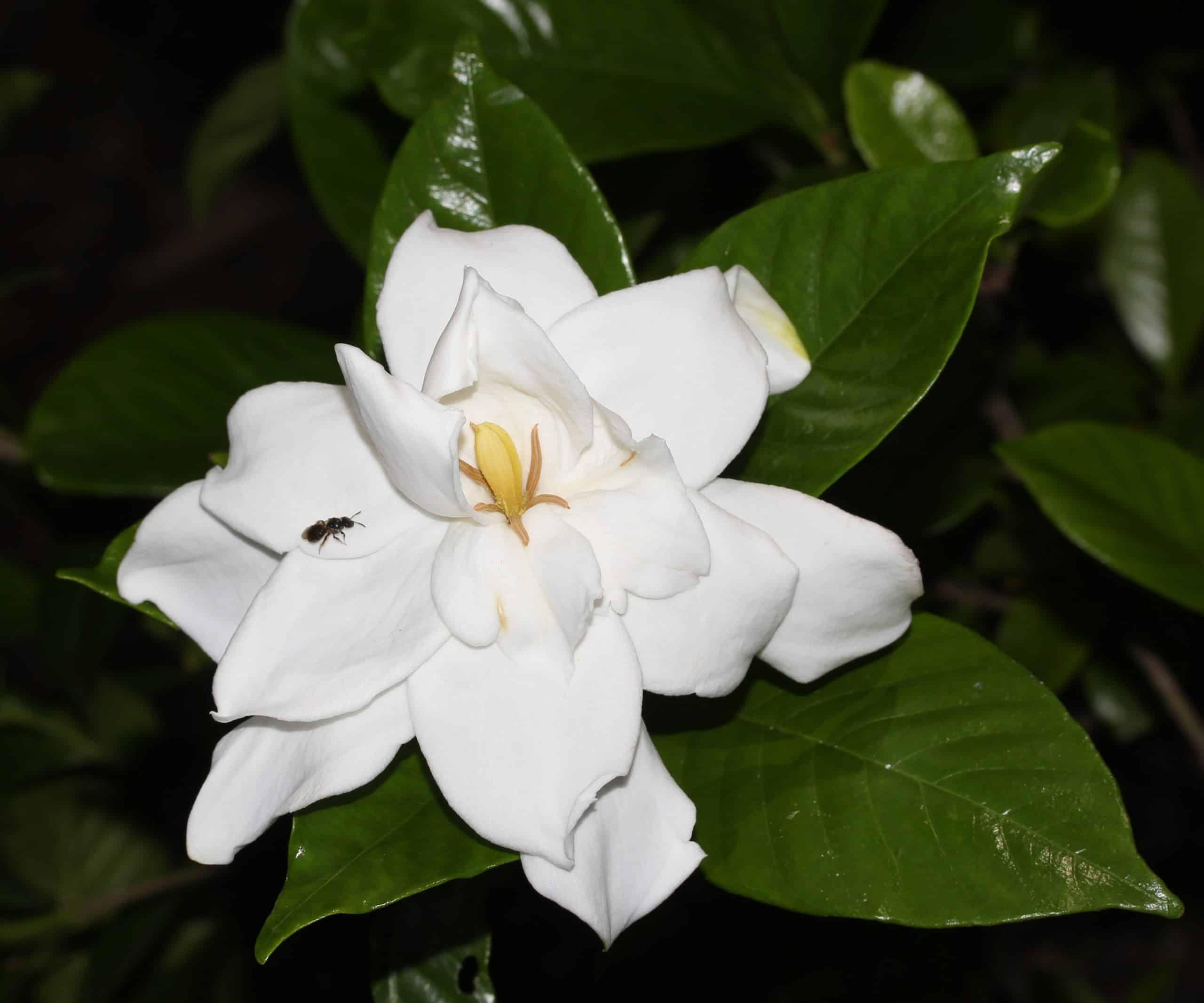 Gardenia. (Jasminoides).