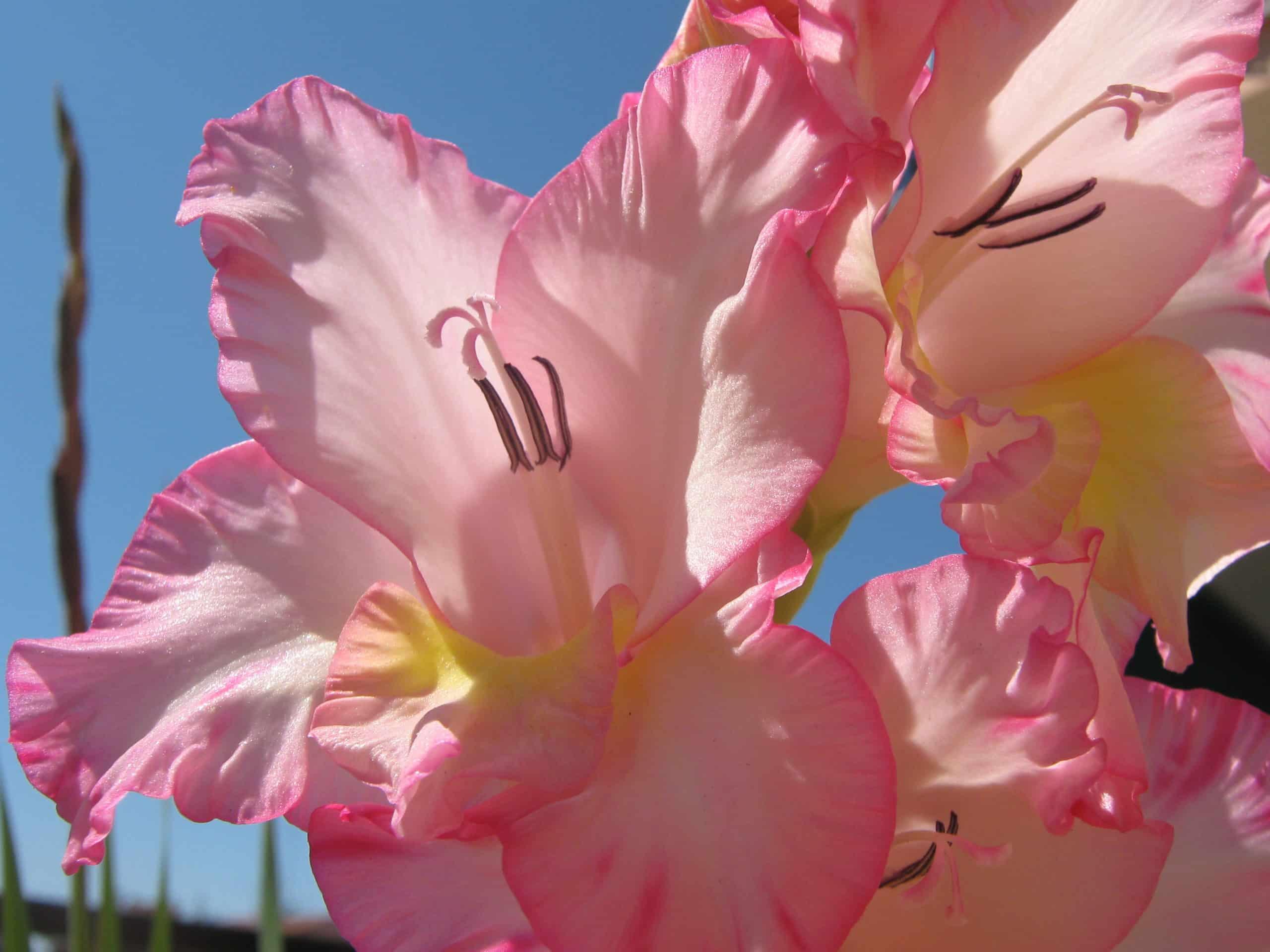 Gladiolus. (Iris Family).