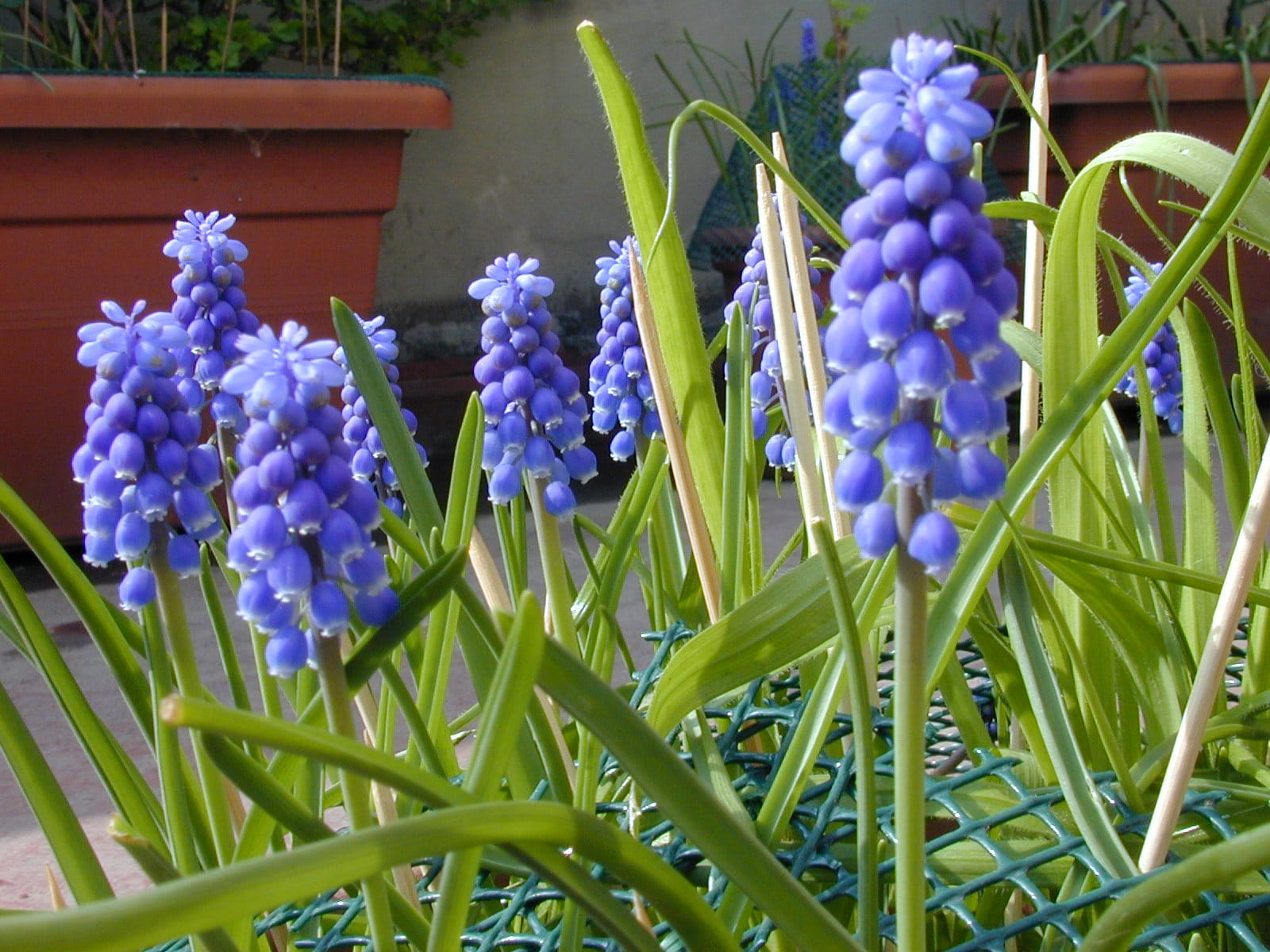 Muscari. (Grape Hyacinth).