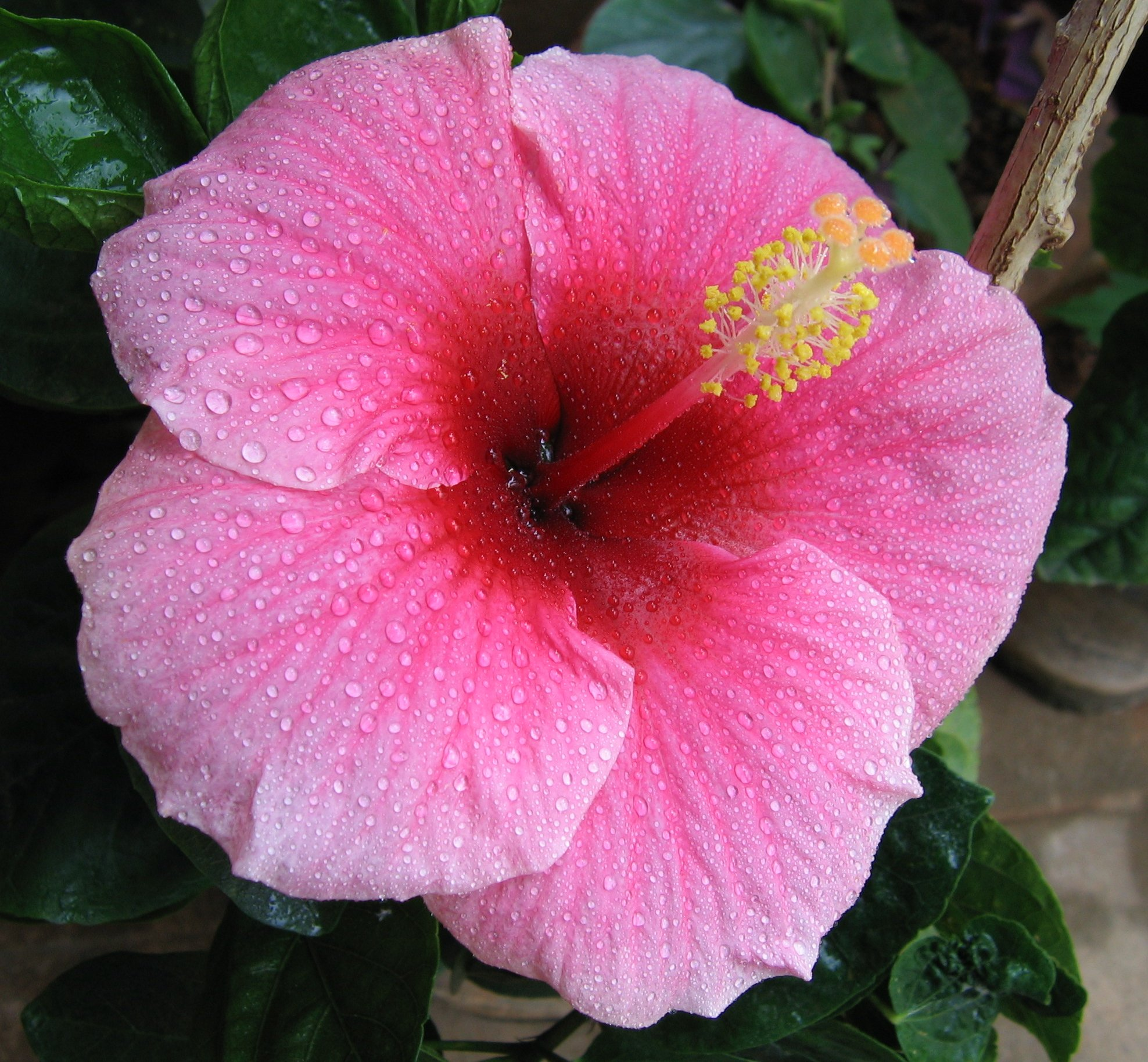 Hibiscus. Hibiscus rosa-sinensis. (Rose Mallow).
