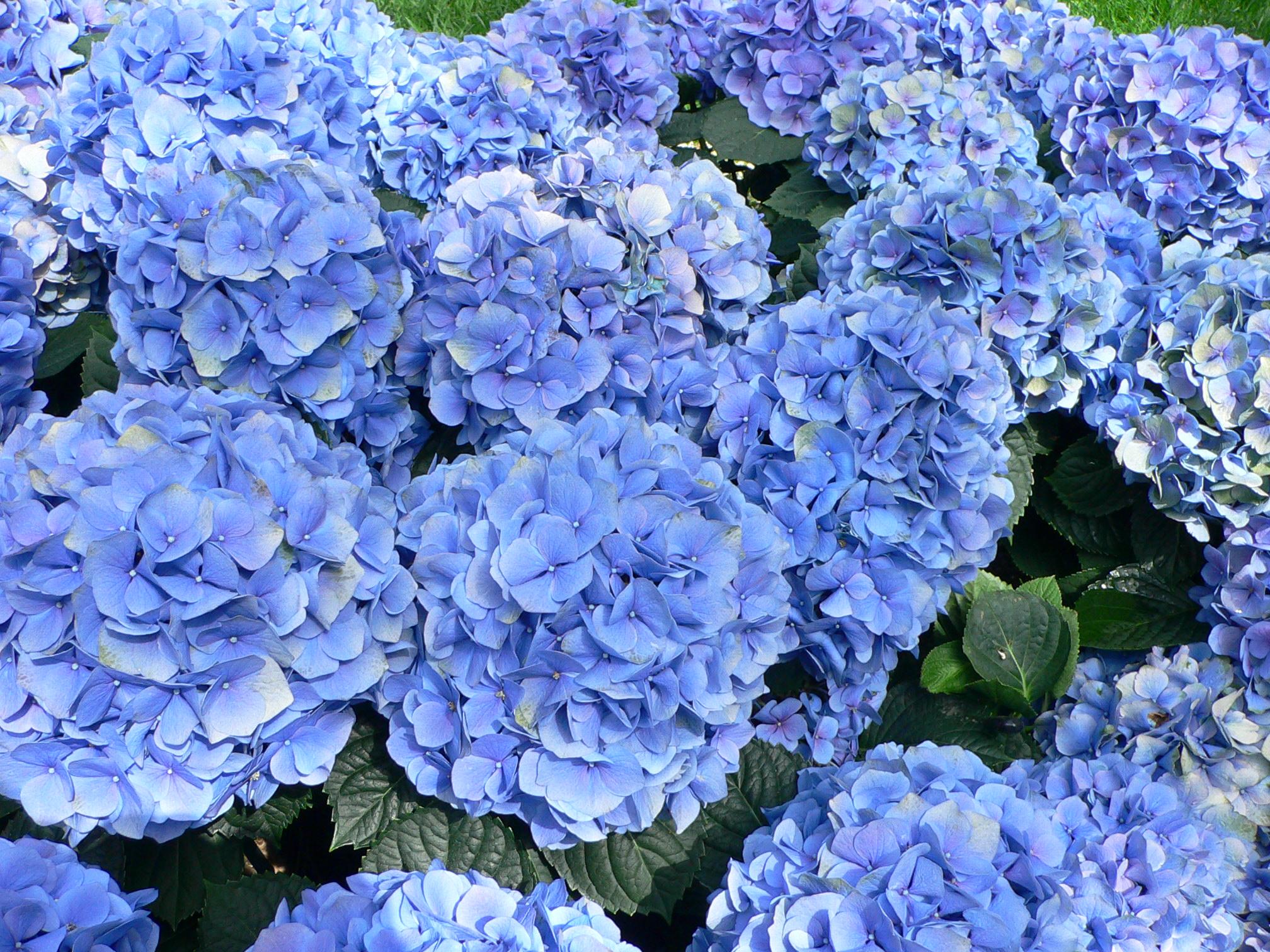 Hydrangea. (Hortensia).