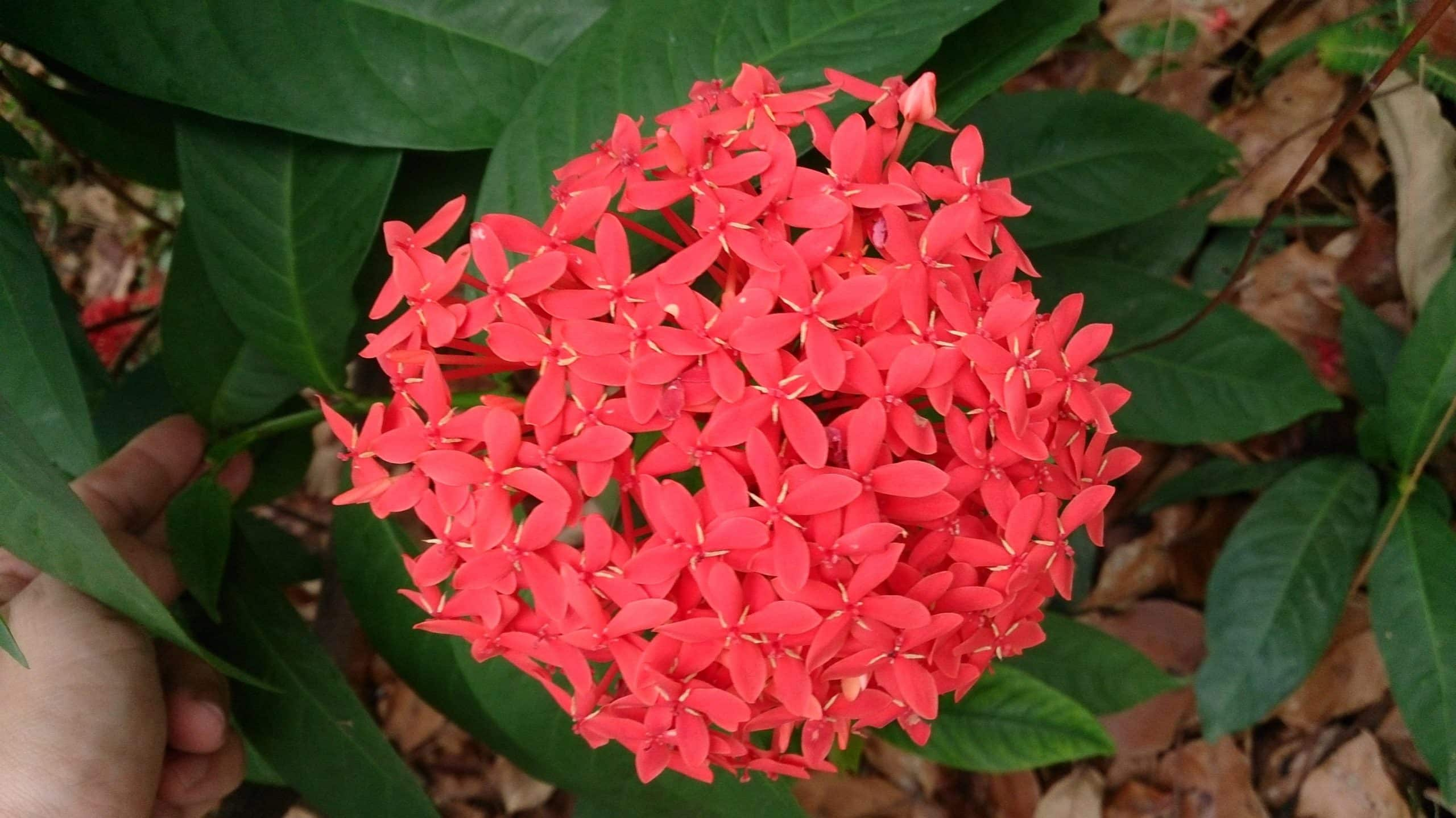 Ixora is also known as the West Indian Jasmine Flower.