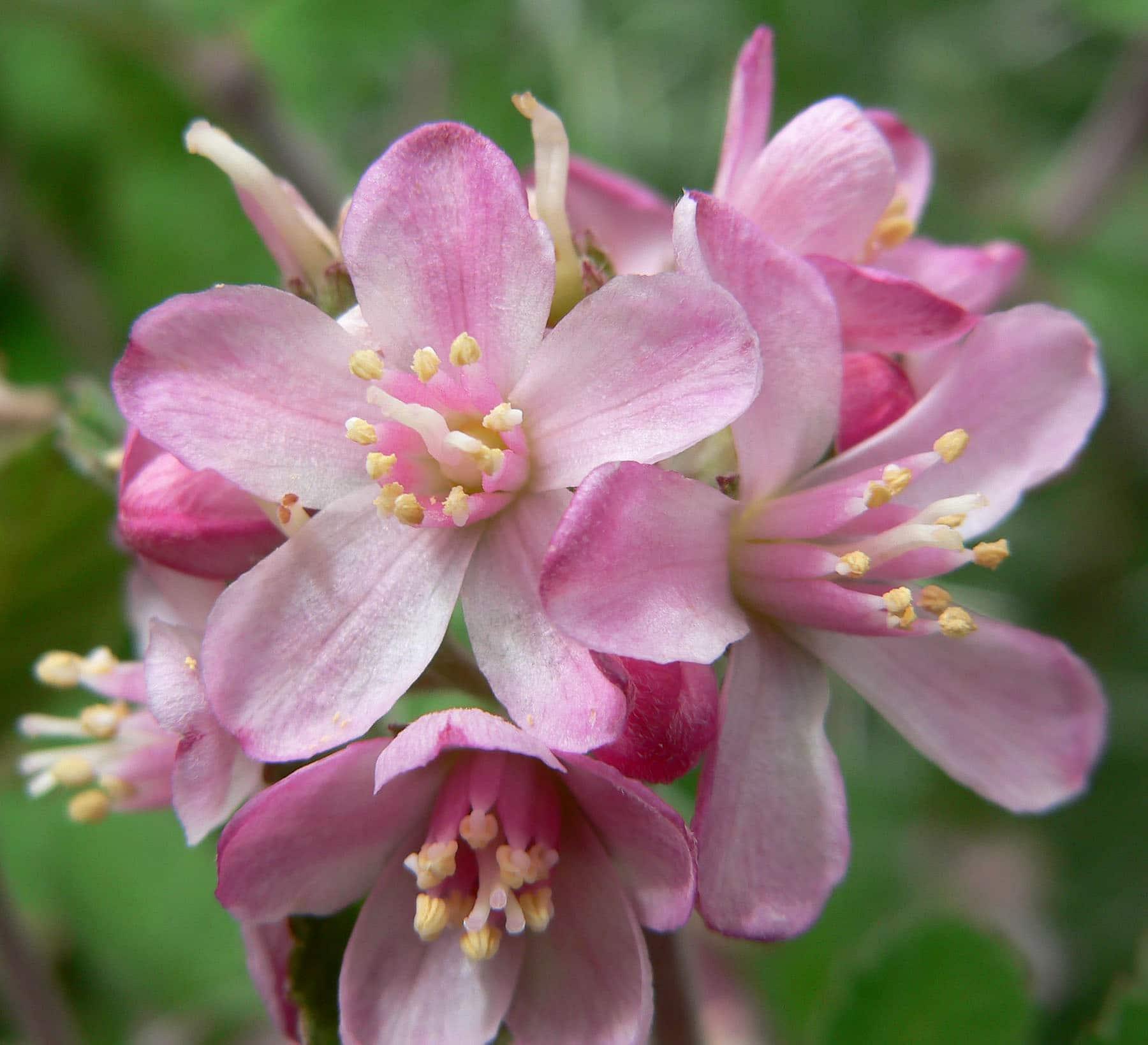 Jamesia americana. (Hydrangea Family).