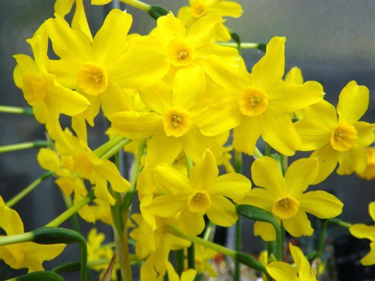 Jonquil. Narcissus.