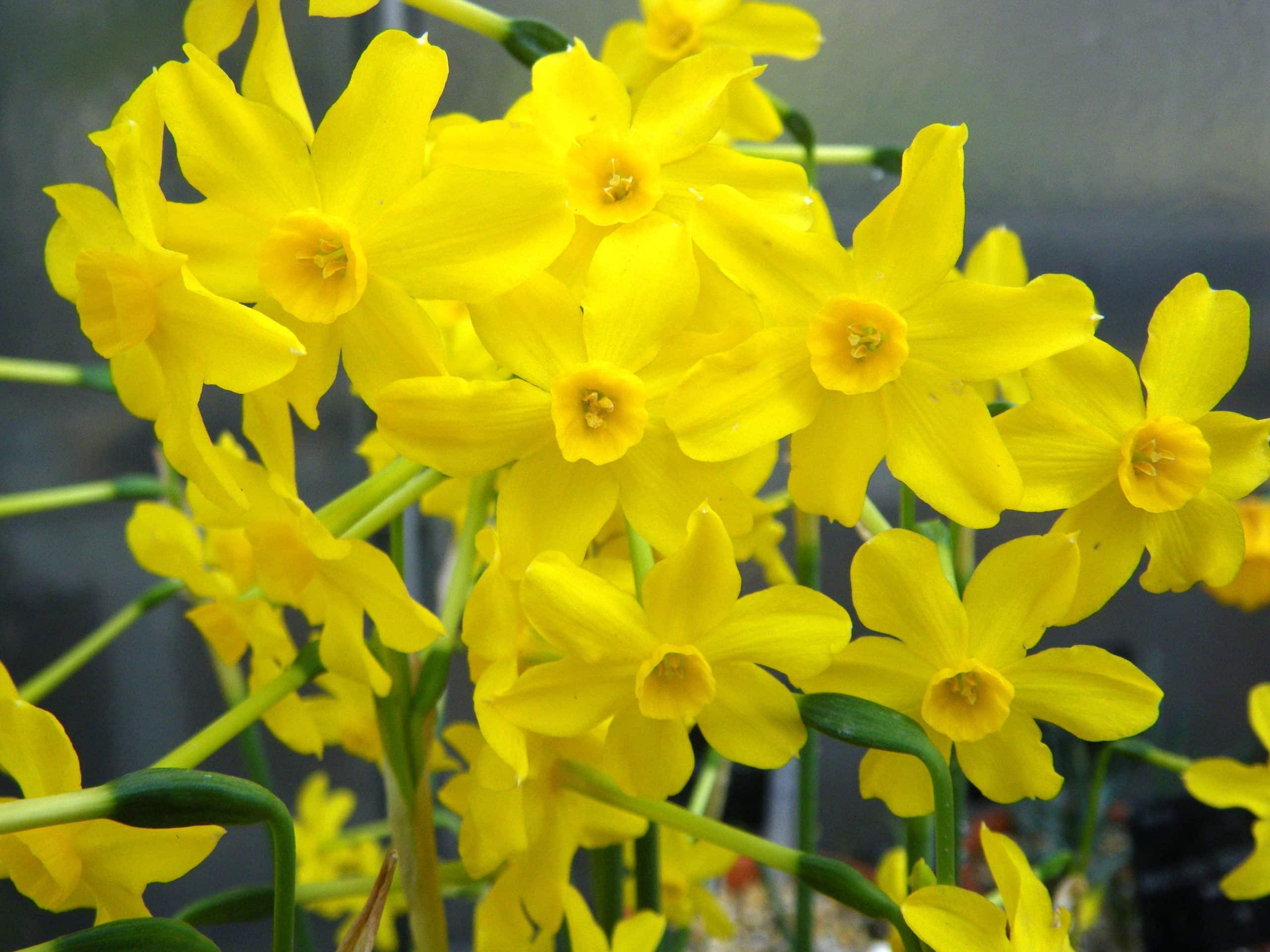 Jonquil. (Narcissus).
