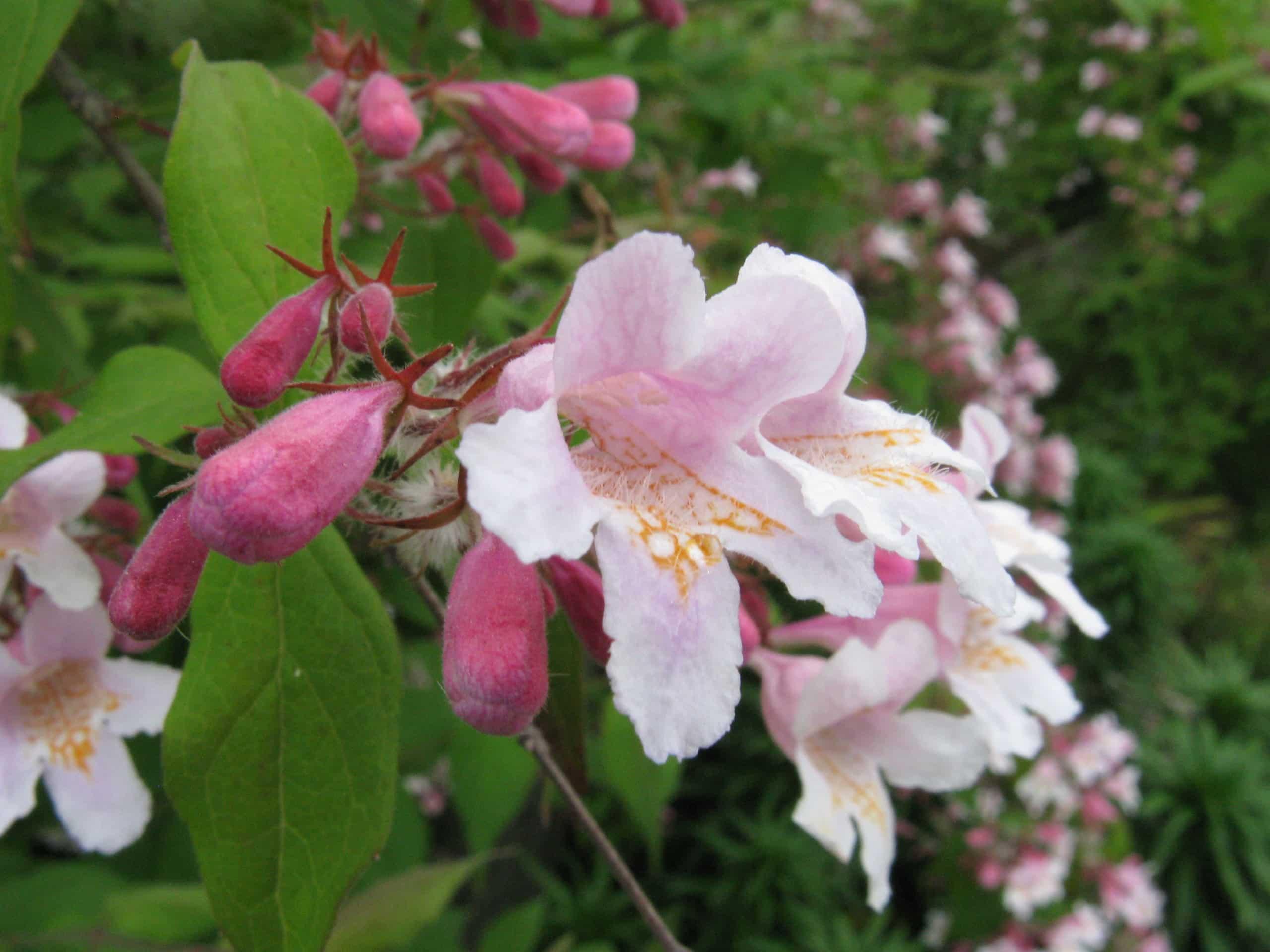 Kolkwitzia. (Beauty Bush). Caprifoliaceae Family.