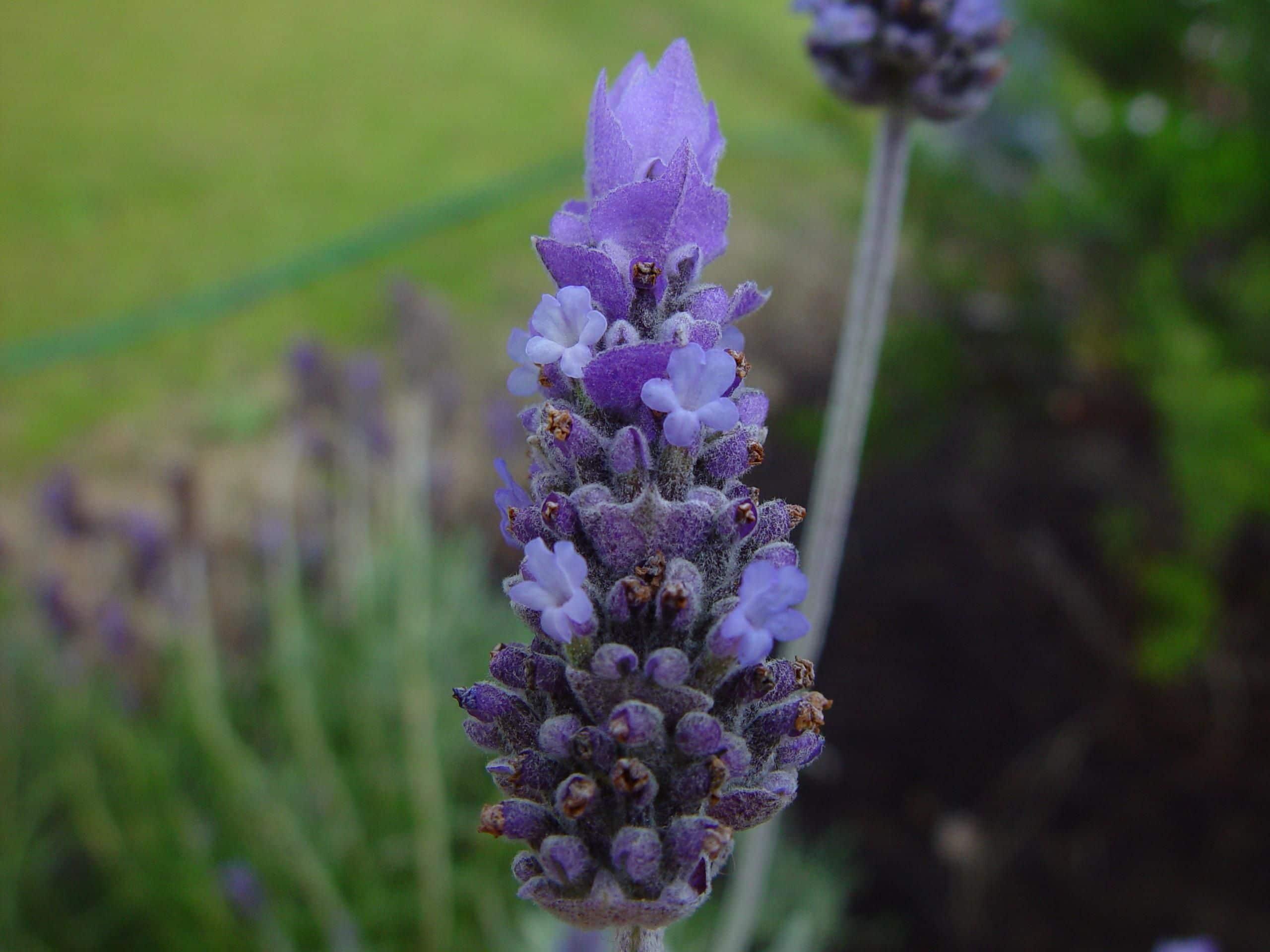 Lavender. (Lavandula).