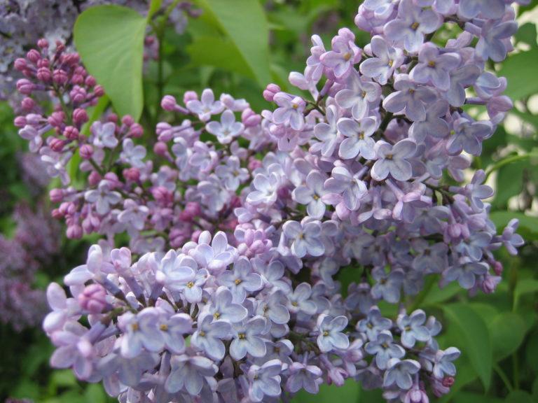 Lilac. Syringa Vulgaris