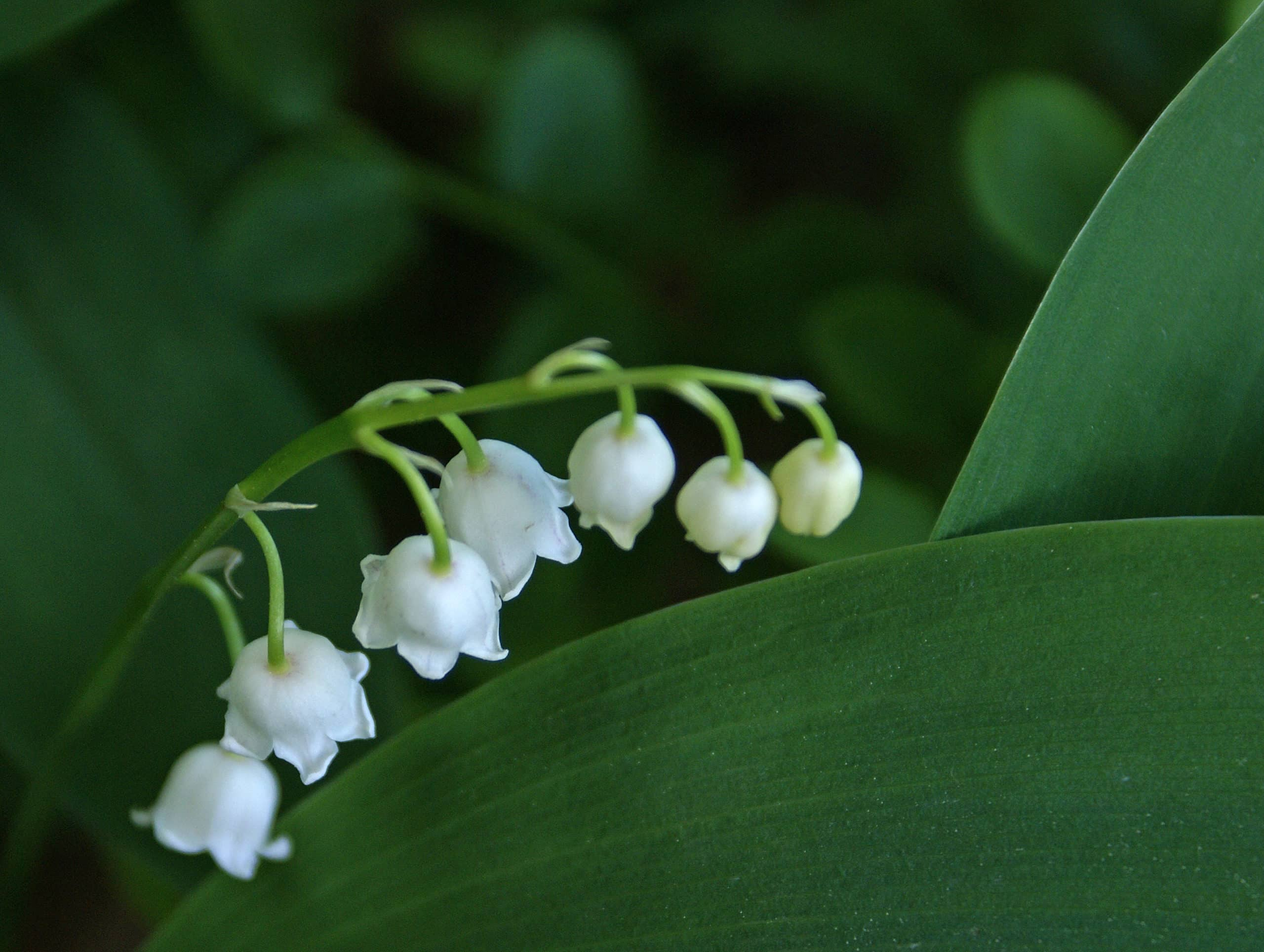 Lily of the Valley. (Convallaria majalis).