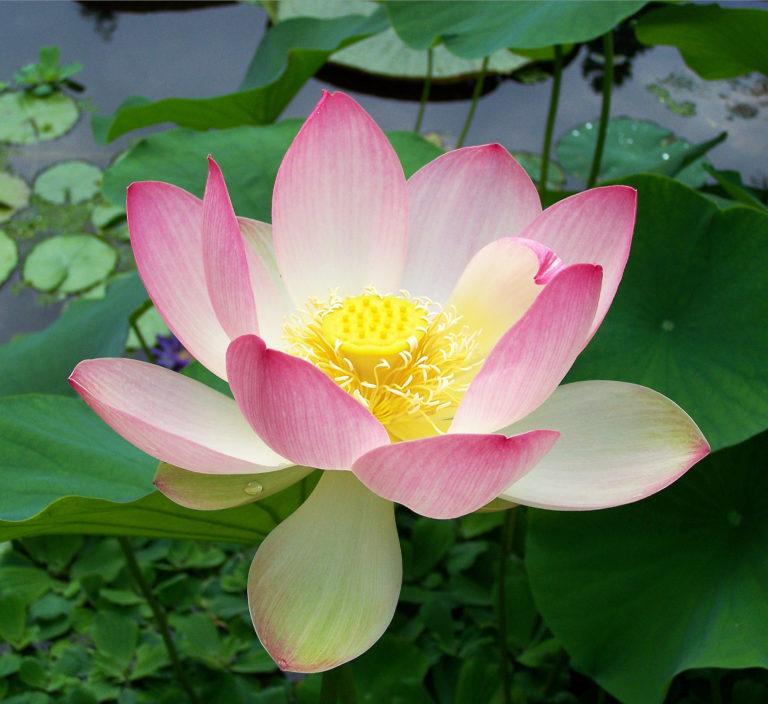 Lotus. Nelumbo nucifera