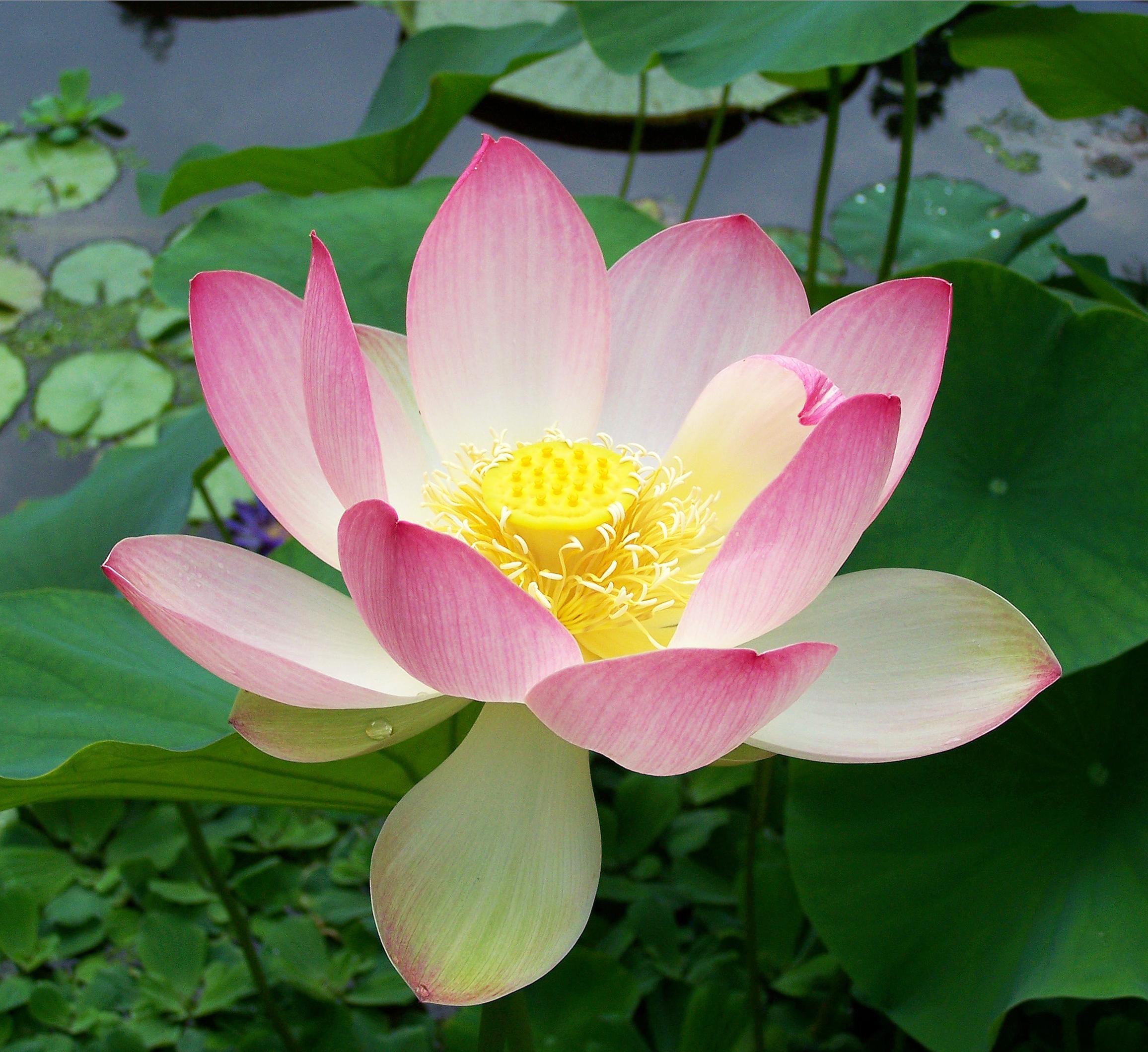 Lotus. (Nelumbo nucifera).