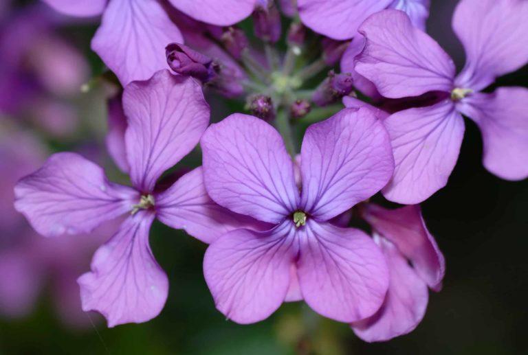 Lunaria. Money Plant