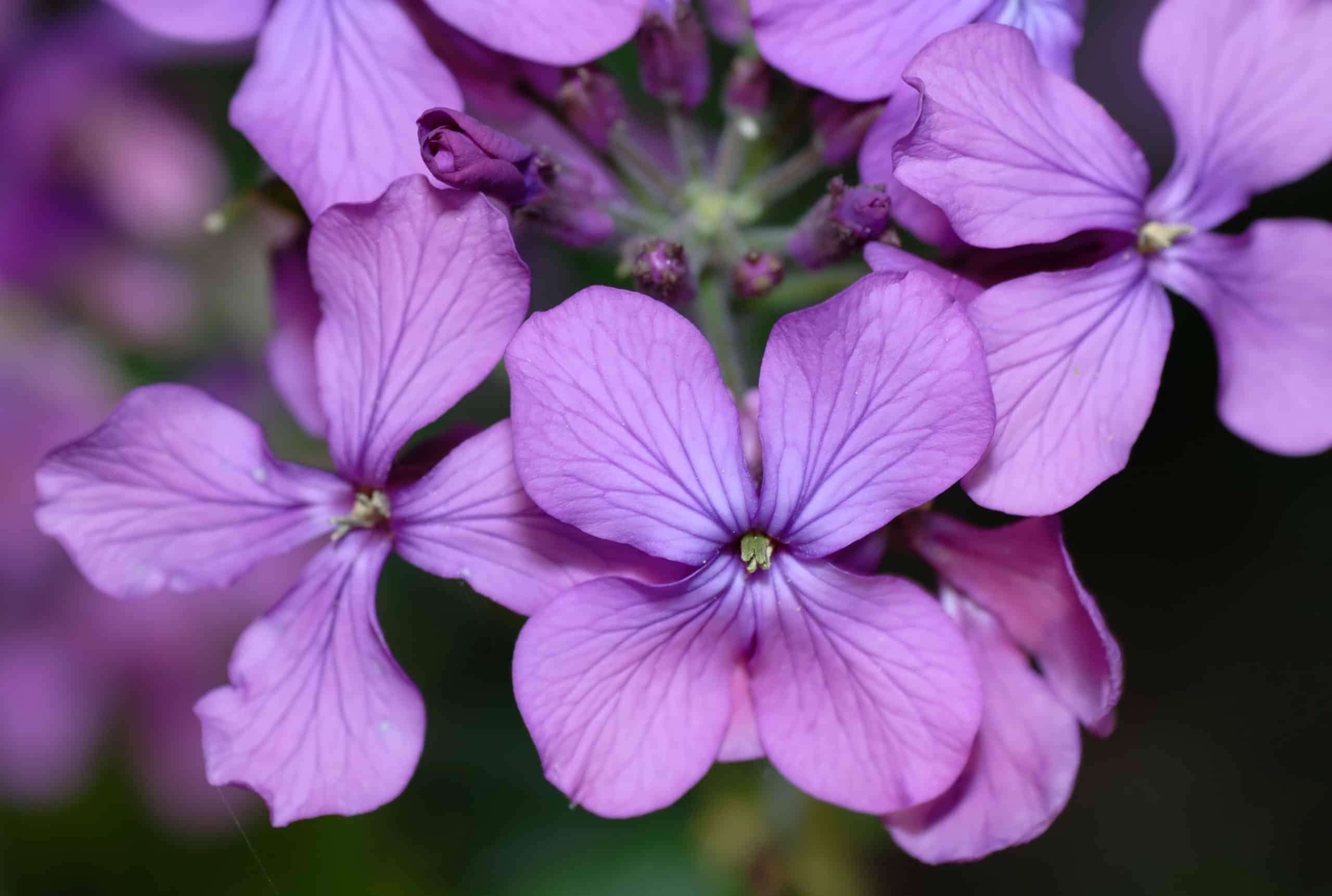Lunaria. (Money Plant).