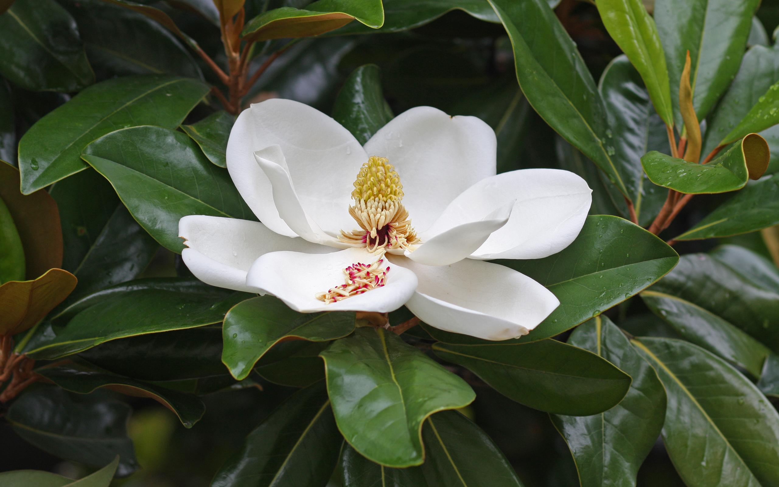 Magnolia. (Magnoliaceae).
