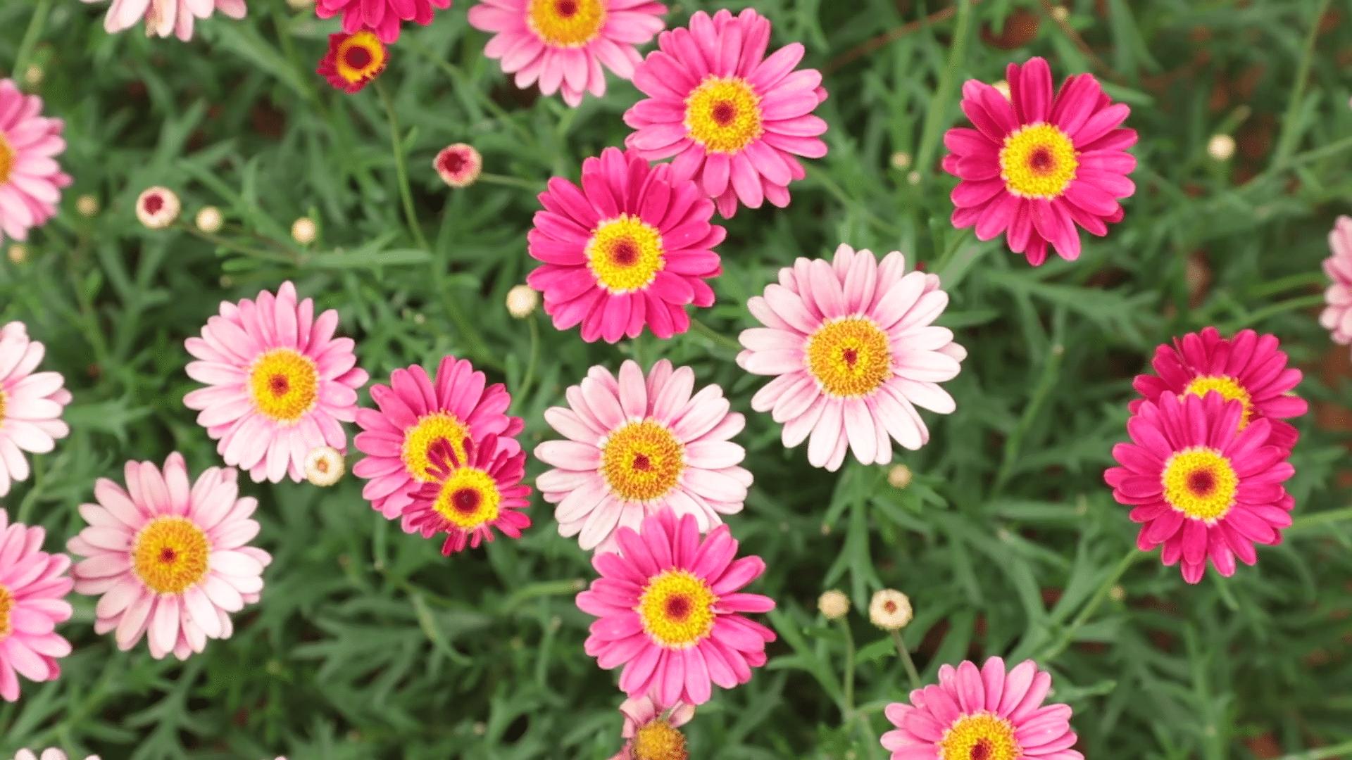 Marguerite Daisy. (Argyranthemum).