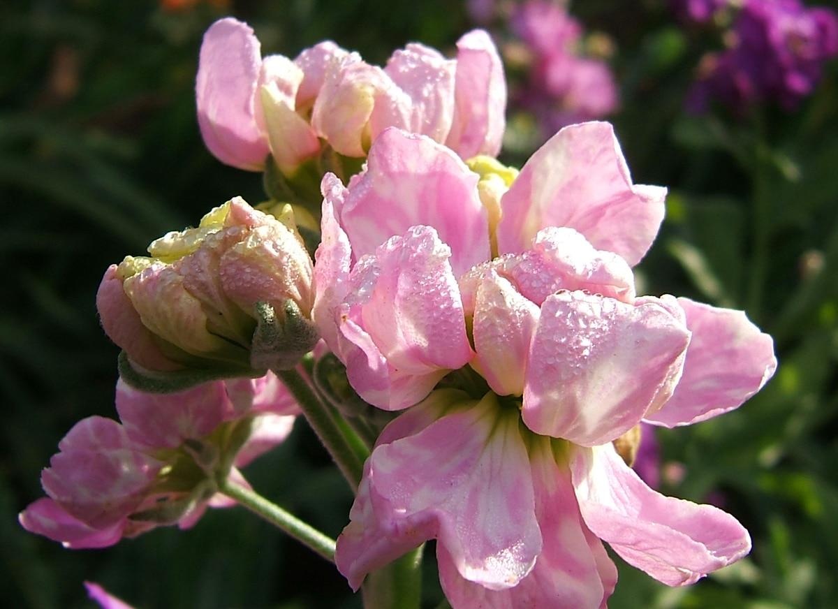 Matthiola. (Stock Flower).