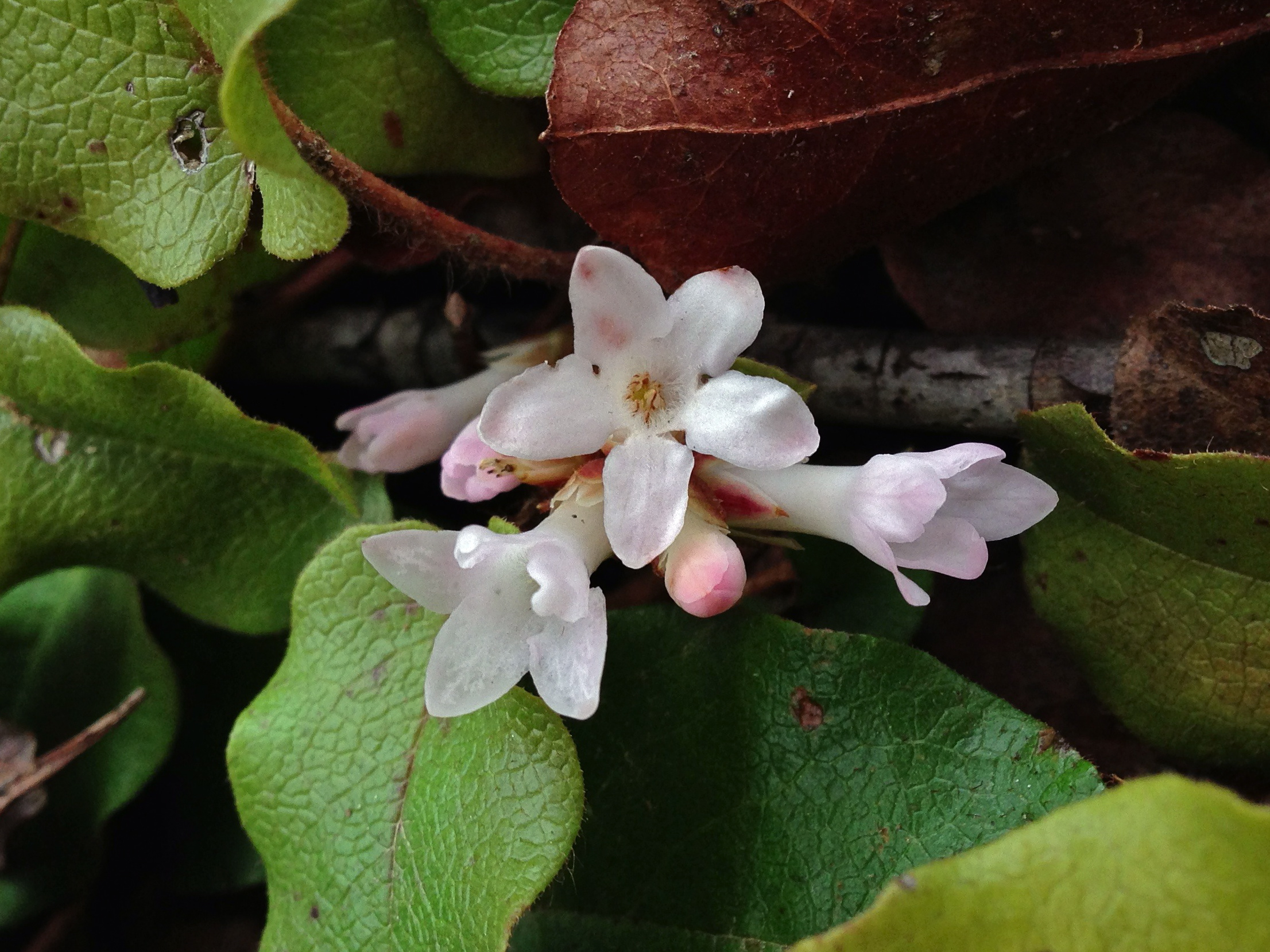 Mayflower. (Trailing Arbutus).