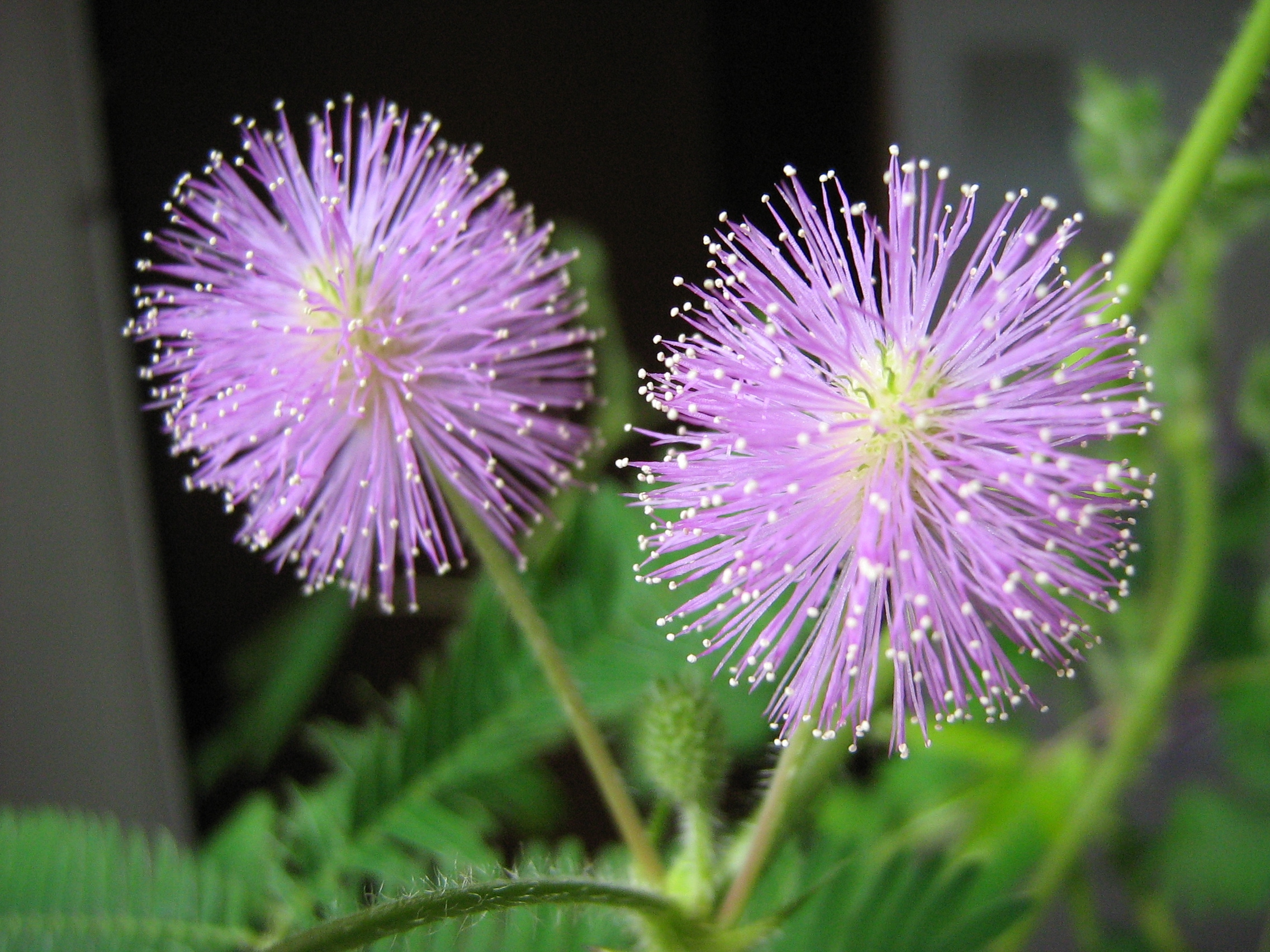 Mimosa. (Mimosa pudica). Touch Me Not.