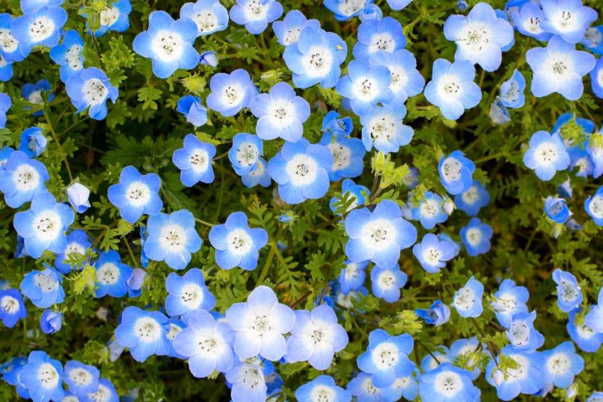 Nemophila. (Baby Blue Eyes).