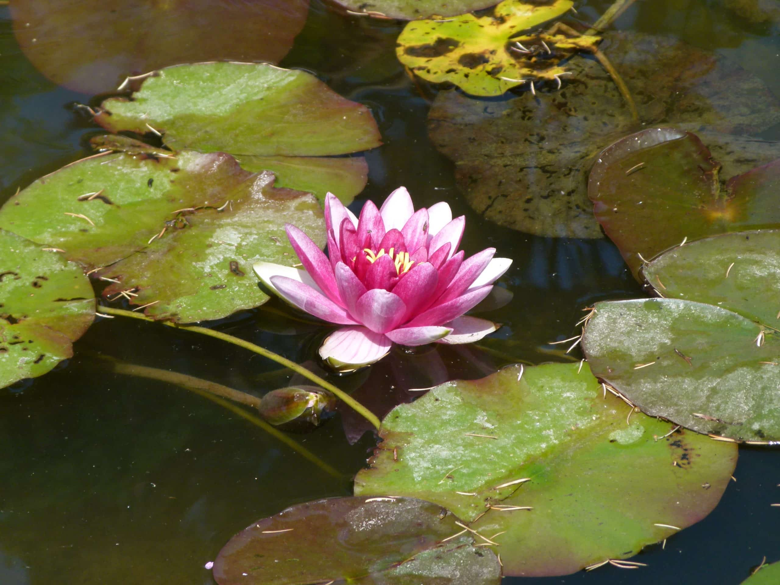 Nymphea. (Water Lily).