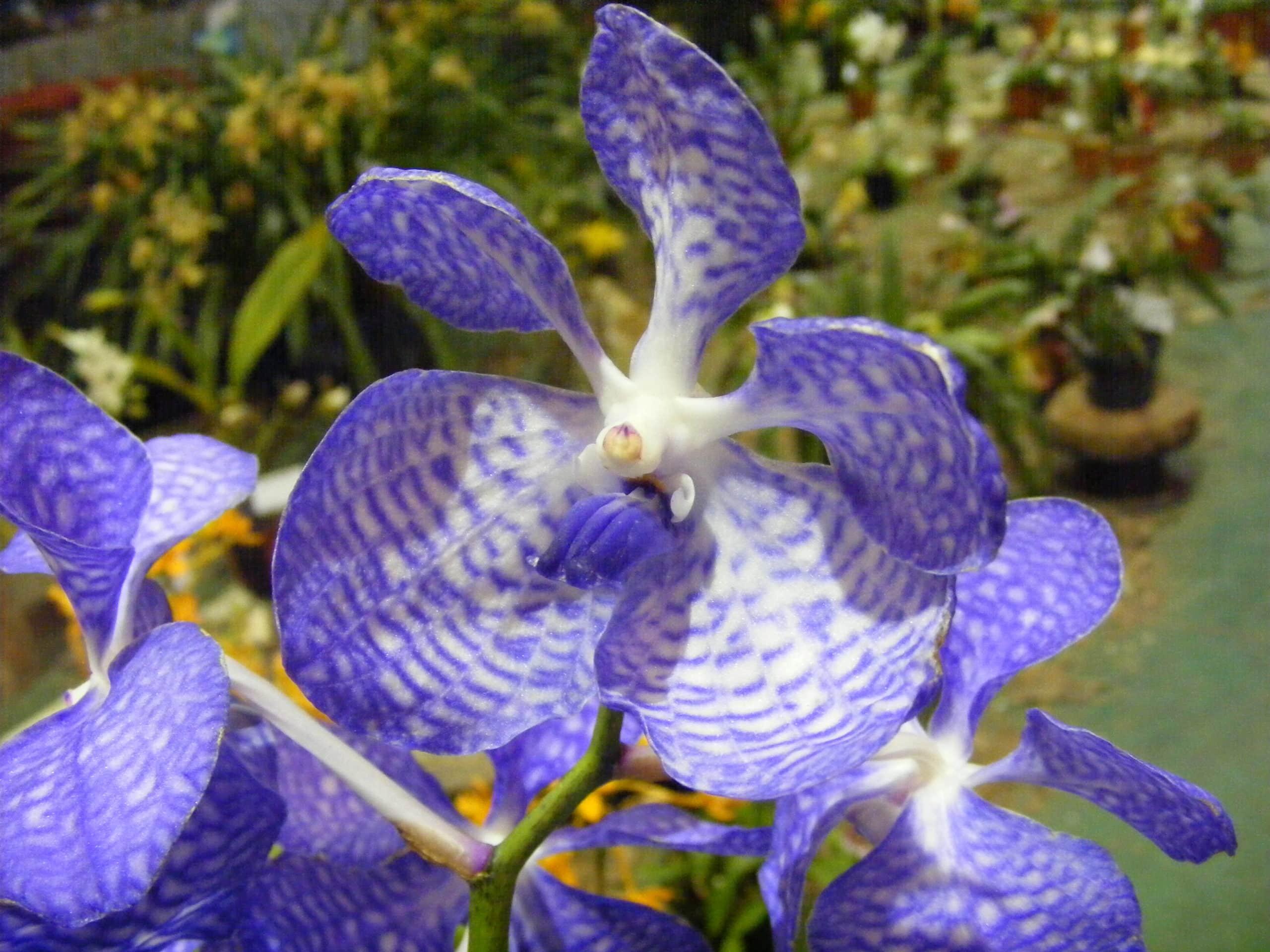 Orchid. (Orchidaceae).