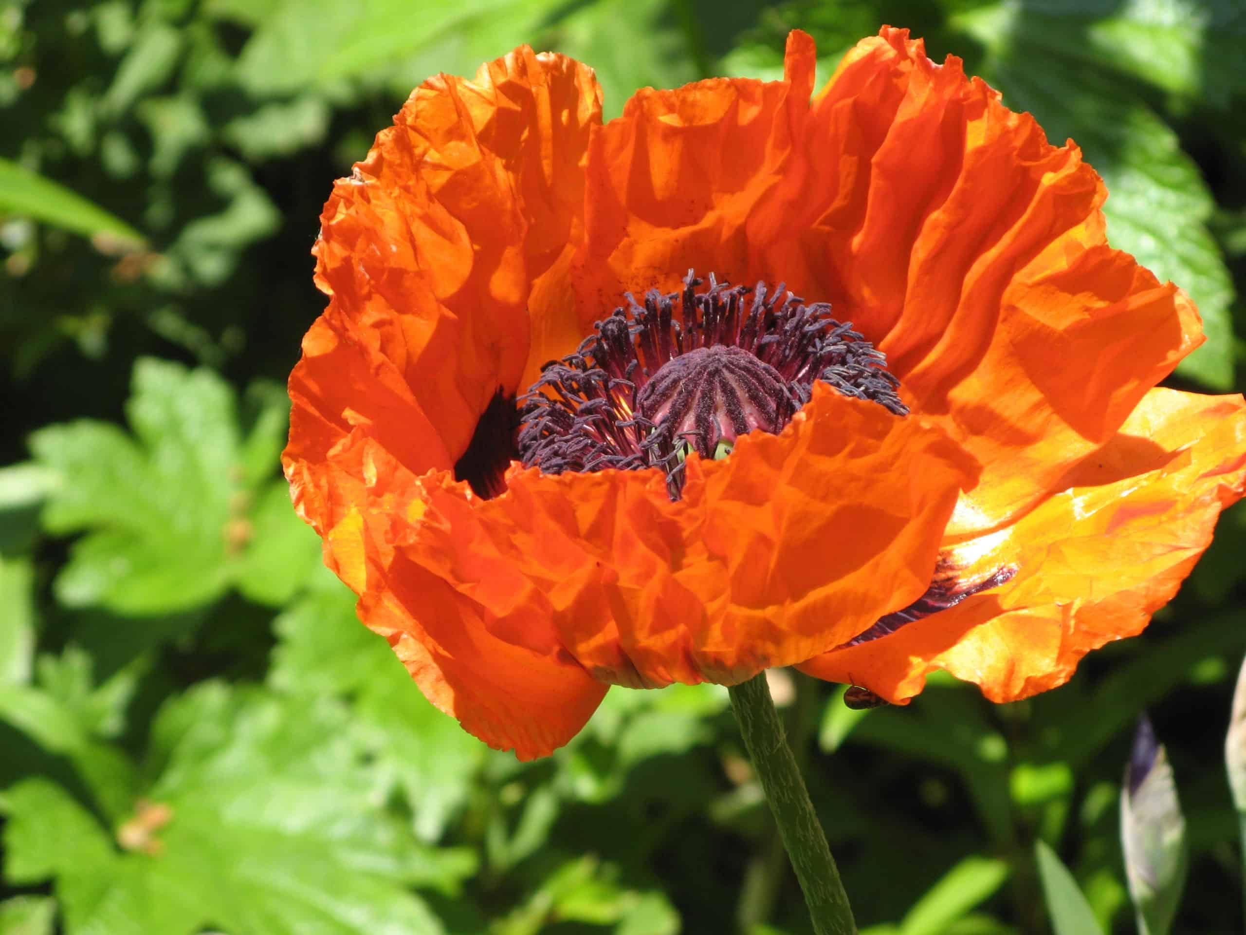 Oriental Poppy. (Papaver).