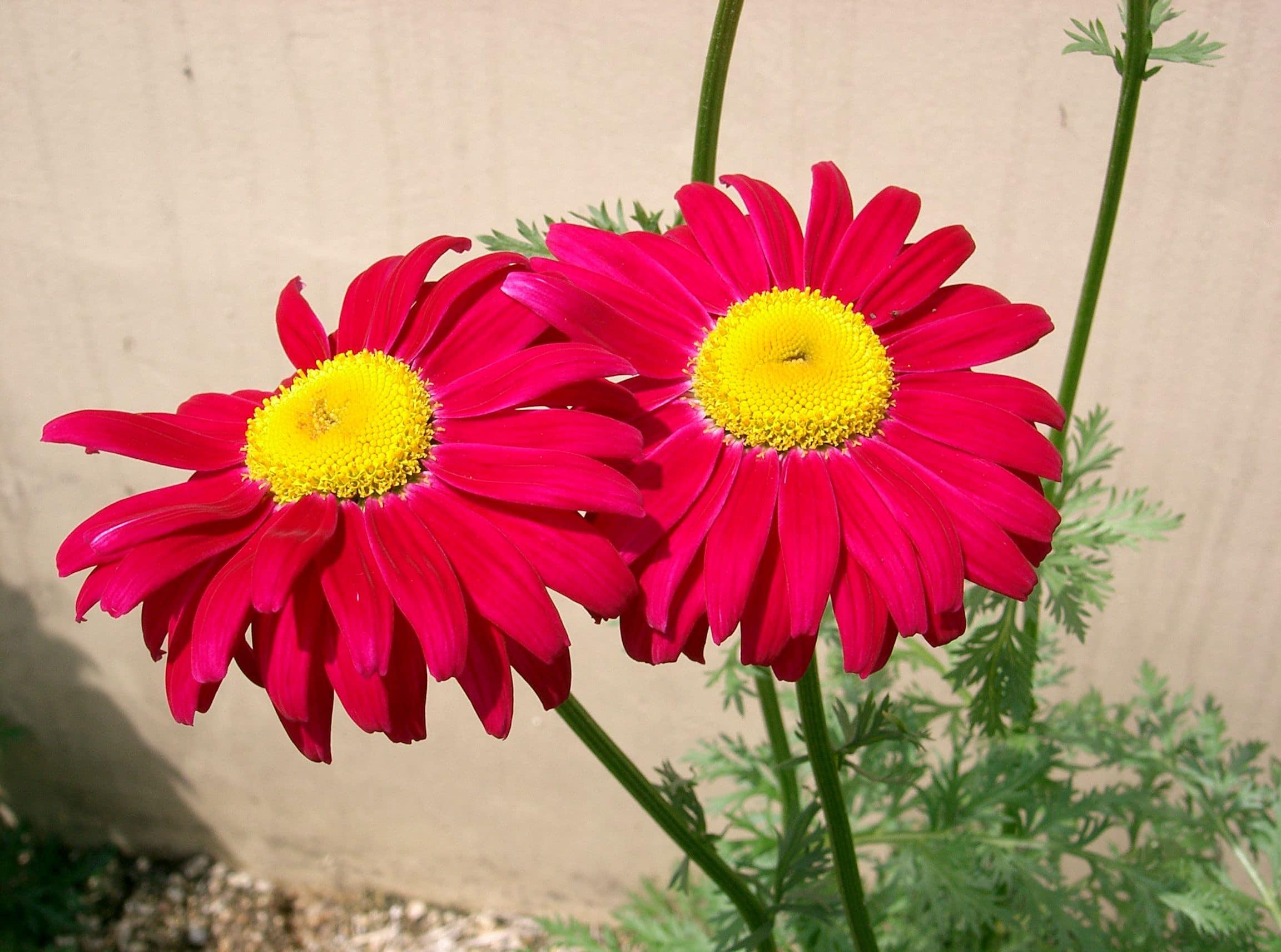 Painted Daisy. (Tanacetum coccineum).