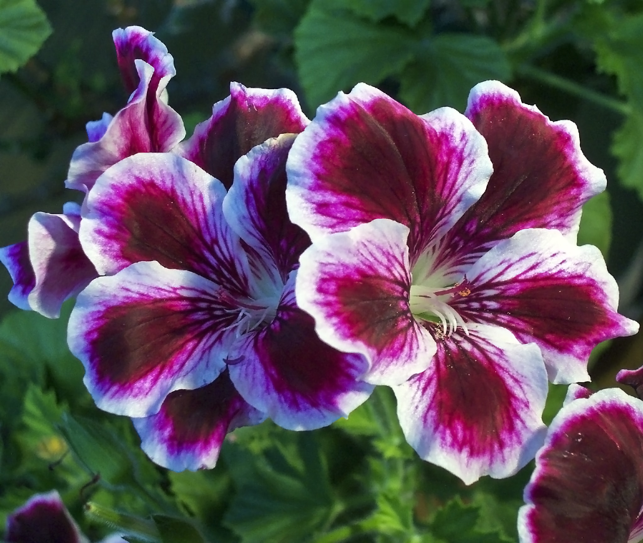 Pelargonium. (Angel Eyes).