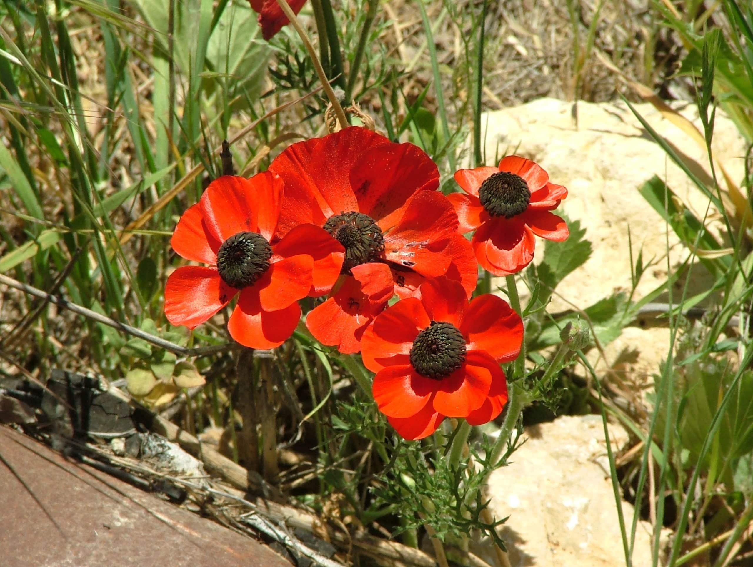 Persian Buttercup. (Ranunculus).